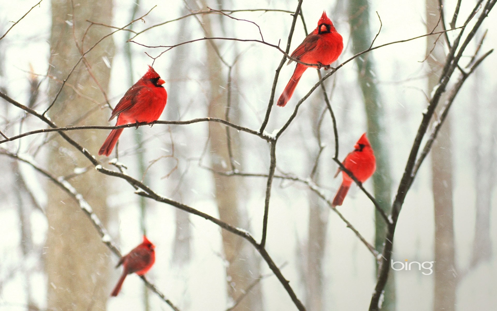winter birds cardinal park branch tree wallpaper forest snow
