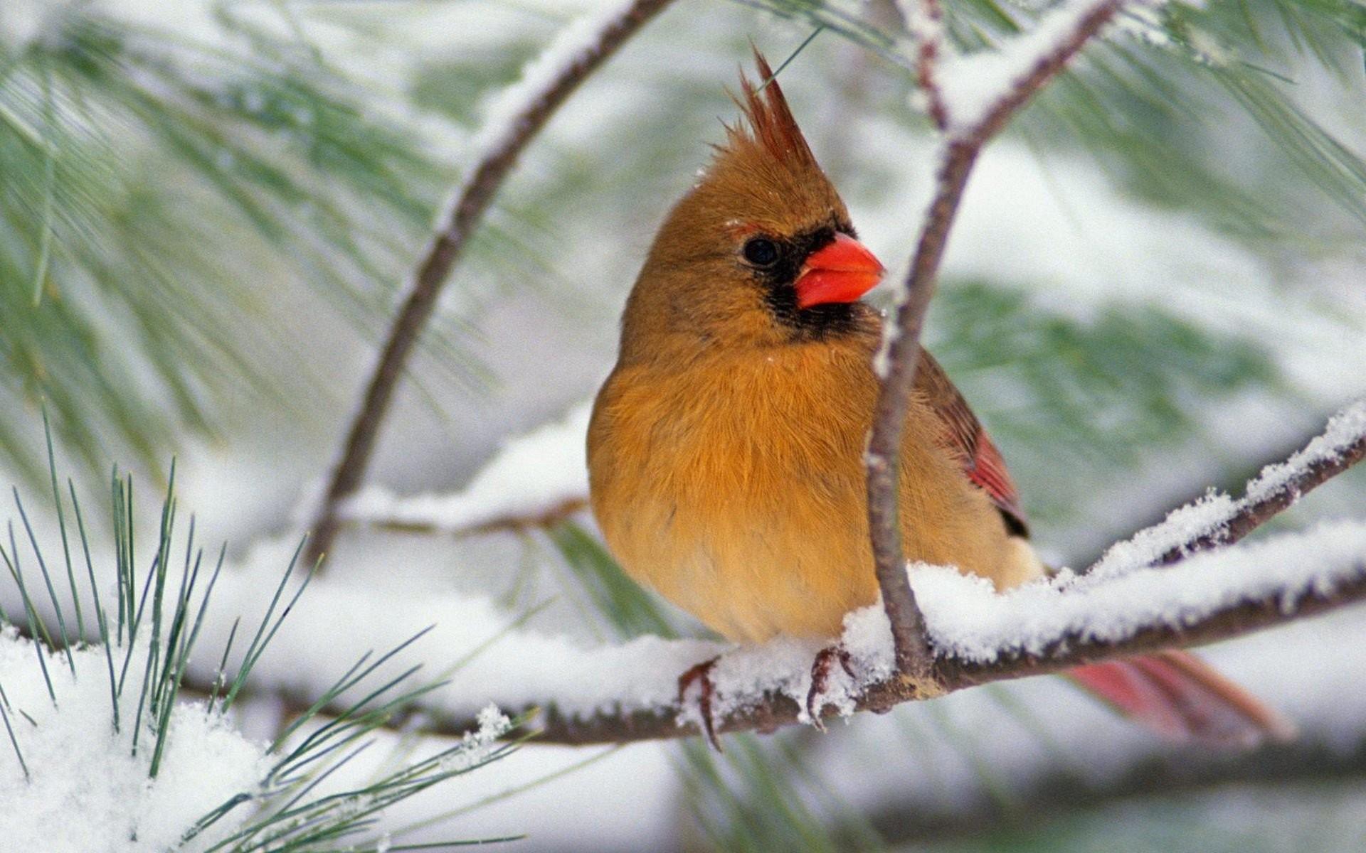 Snow birds animals branches Northern Cardinal wallpaper | |  263778 | WallpaperUP
