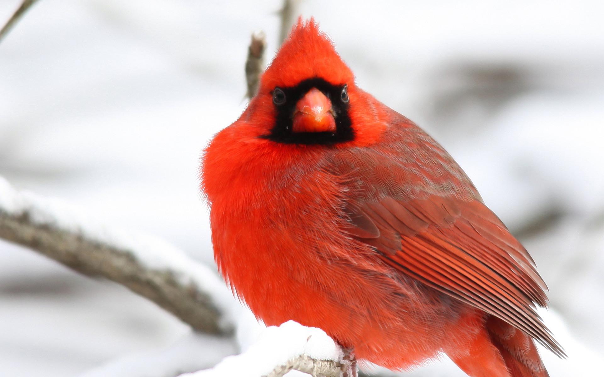 Northern Cardinal Bird Wallpaper – https://www.gbwallpapers.com/northern