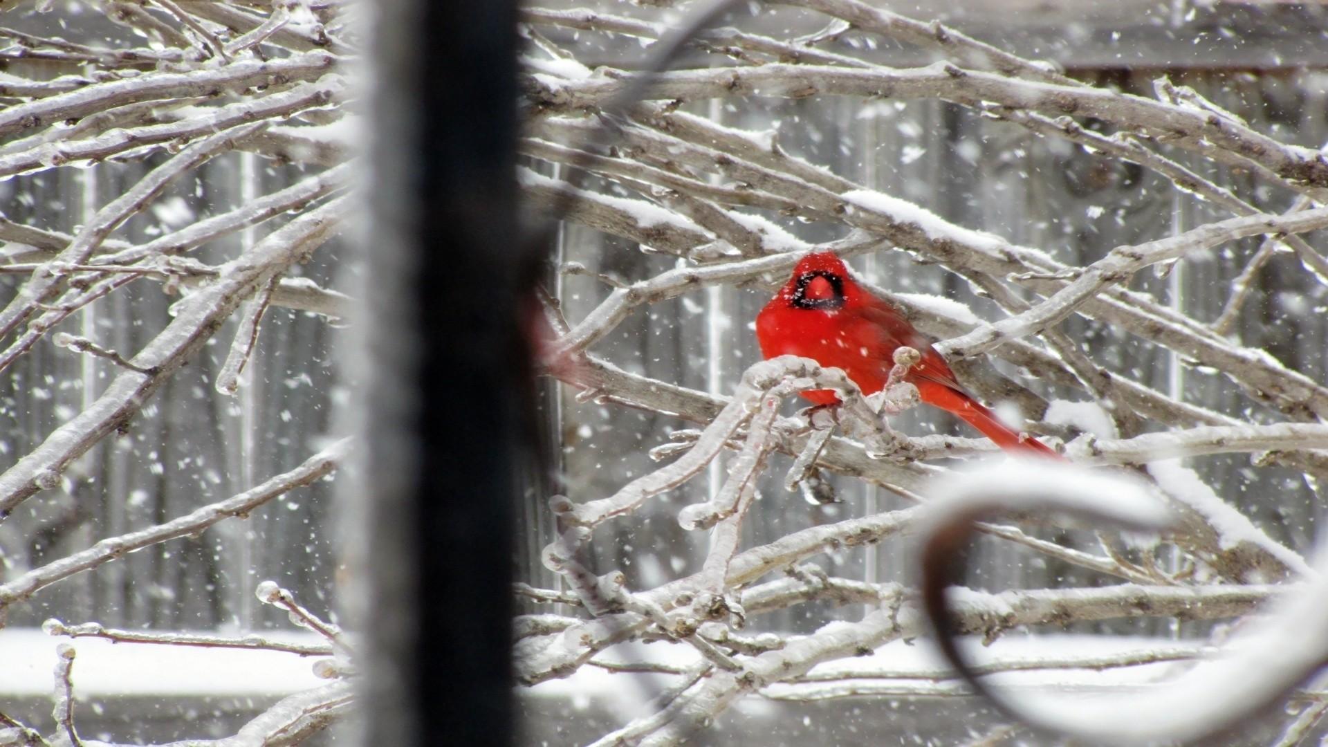 Nature snow birds cardinal northern wallpaper | | 123740 |  WallpaperUP