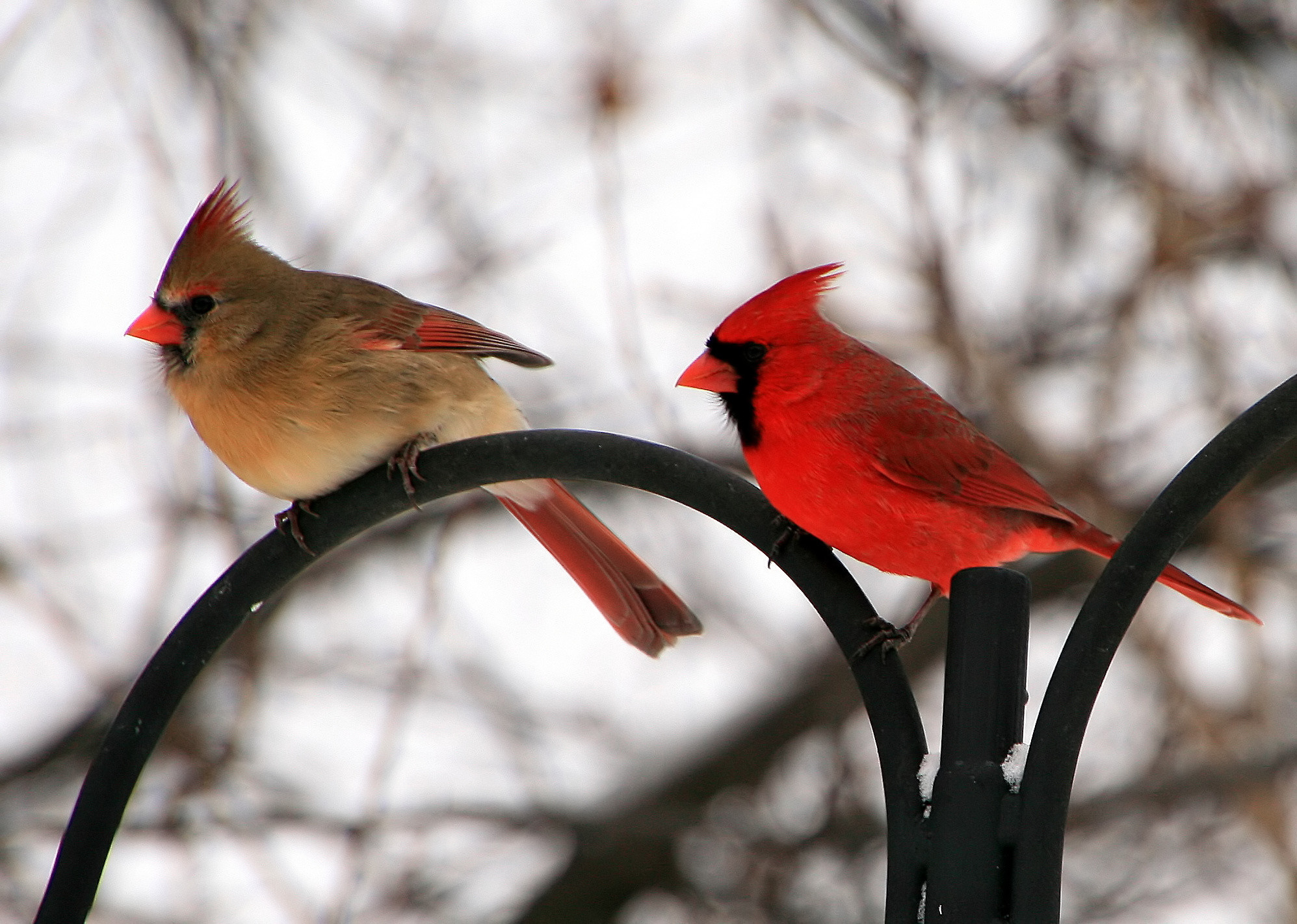 Female and Male Northern Cardinal. The Cardinal is the State Bird of  Virginia.