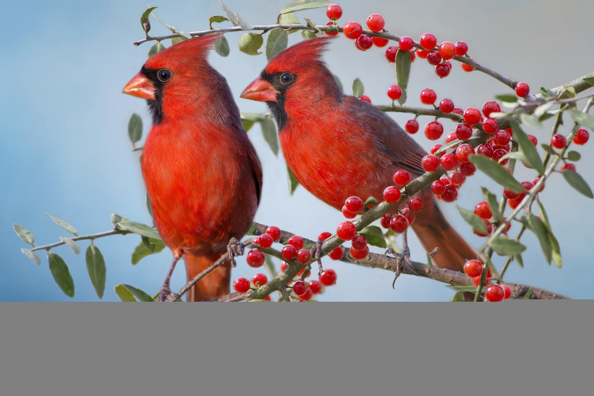 The red cardinal wallpaper thumb