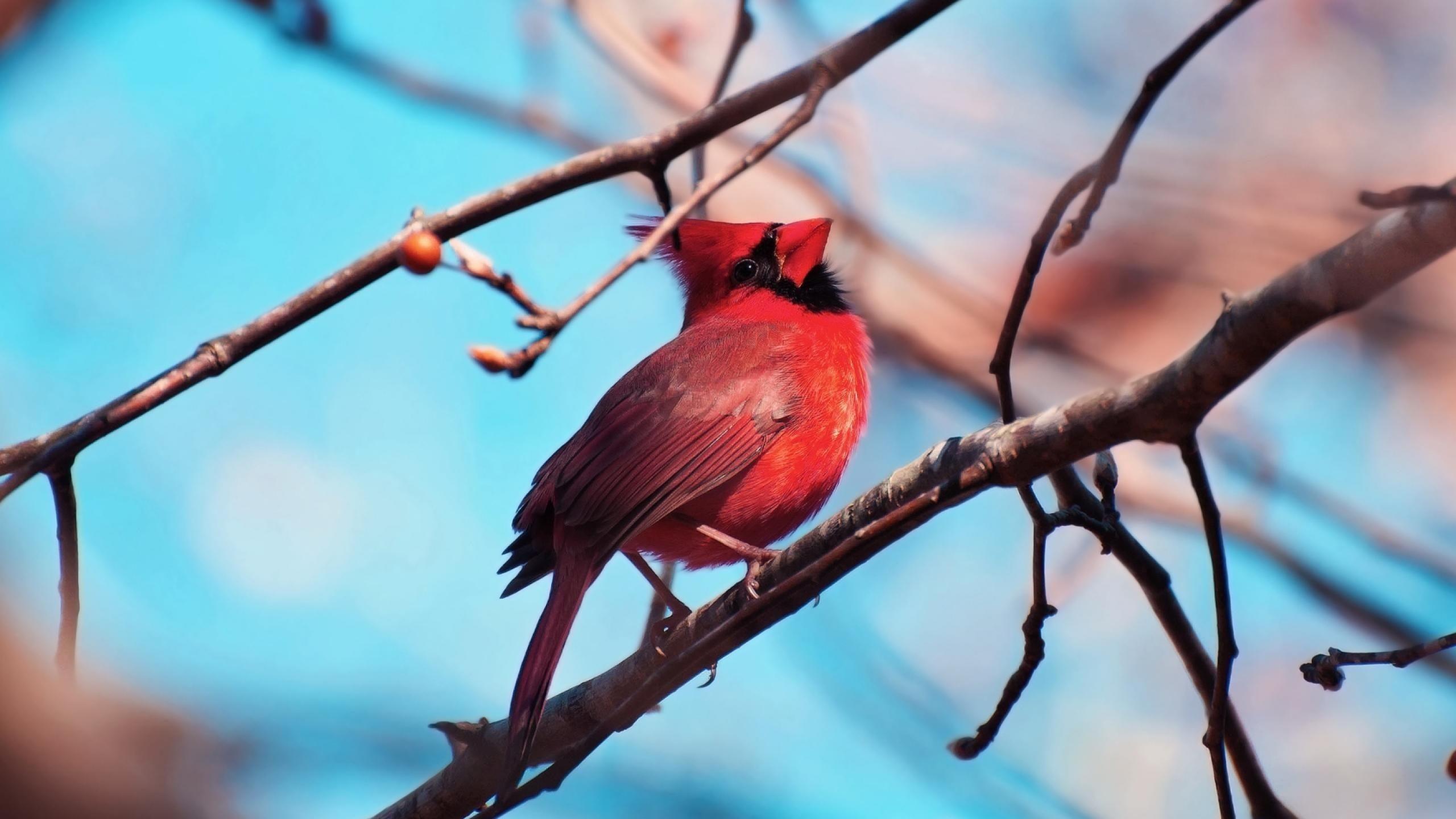 Red Cardinal Bird Wallpaper