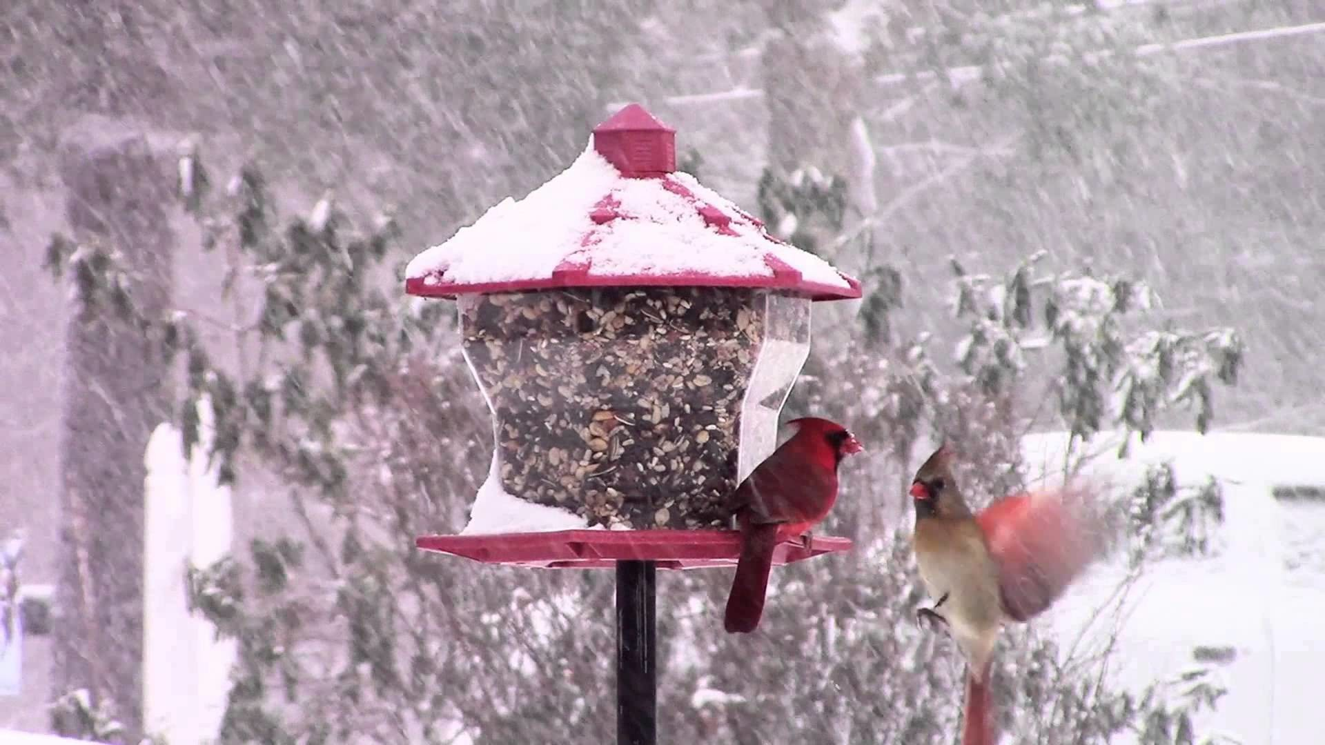 Northern Cardinal and winter birds 2015 in connecticut Cats love to watch  this :)