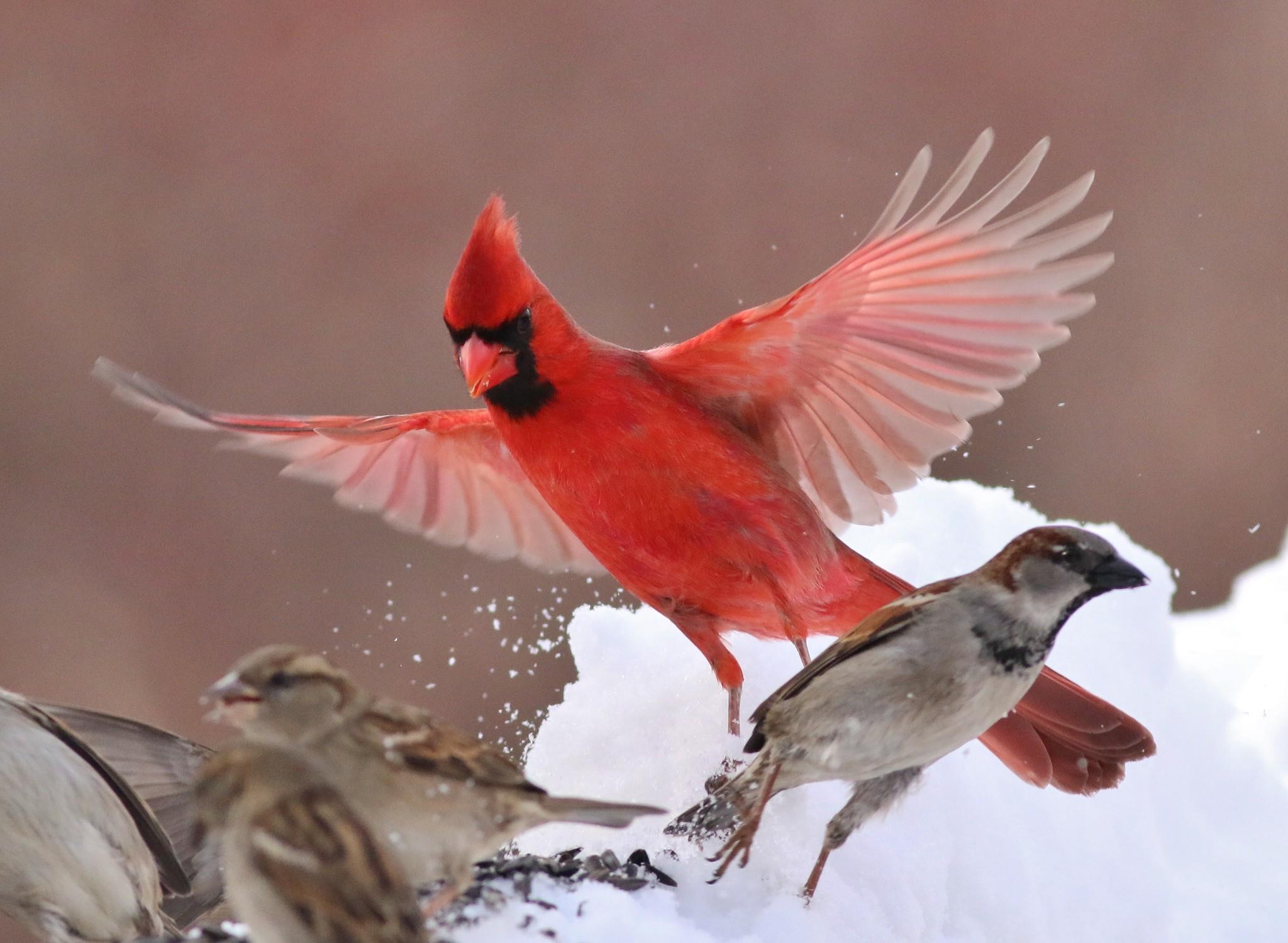 Red cardinal bird wallpaper thumb