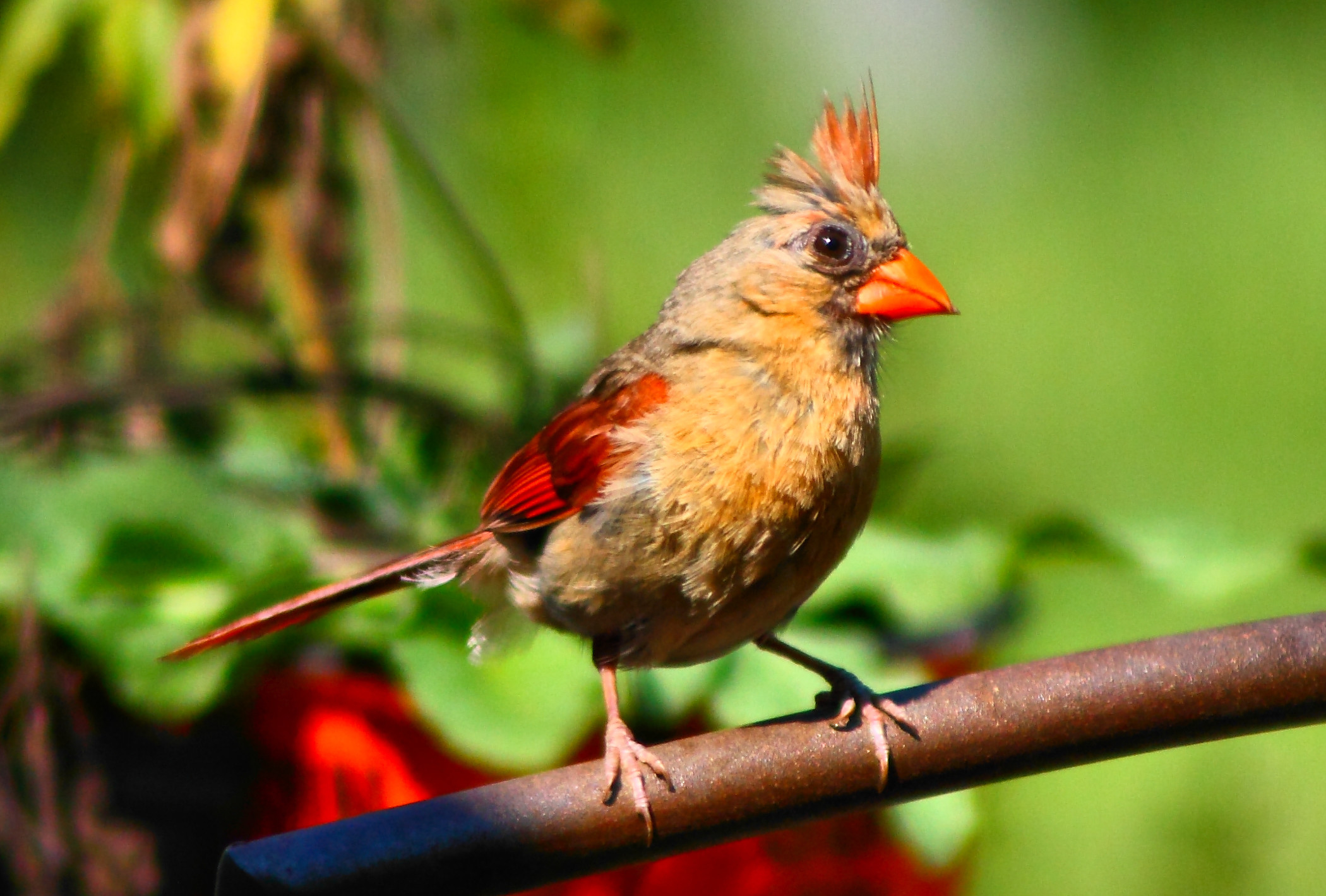 Best Iphone Wallpapers Female Cardinal Birds