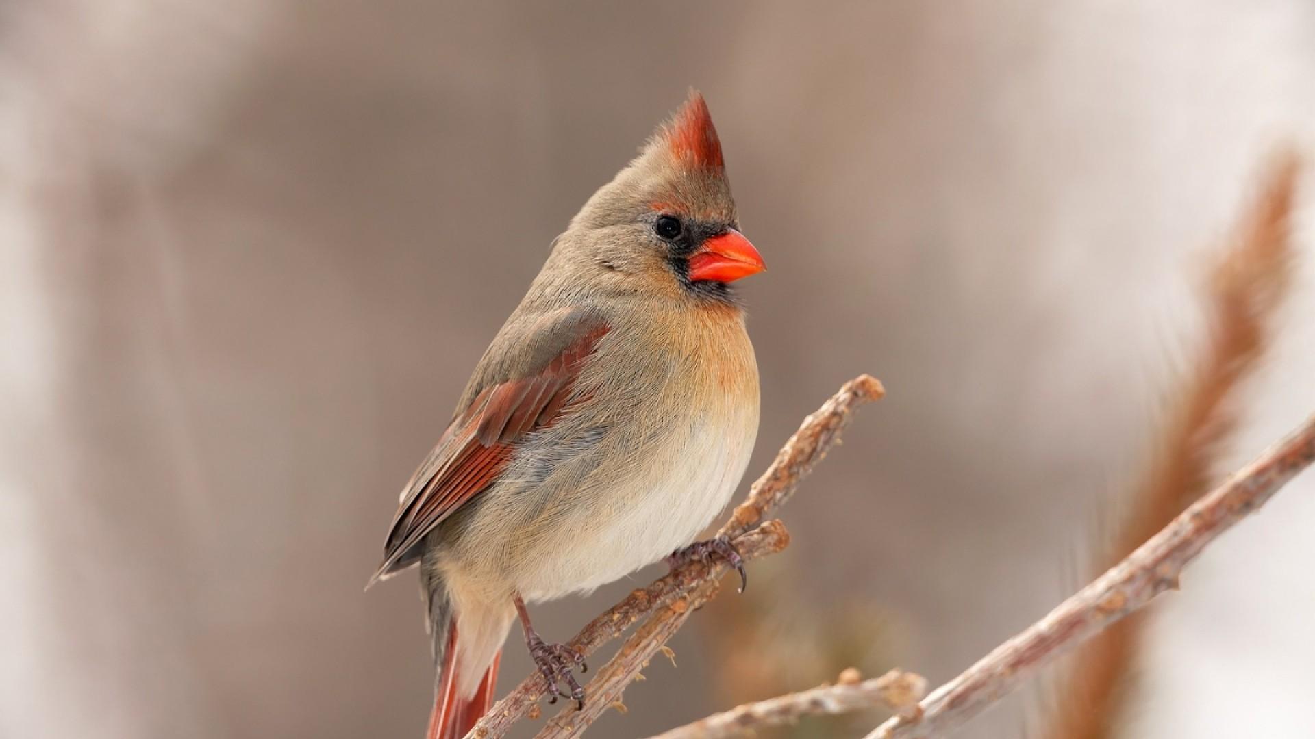 Wallpaper cardinal, bird, branch