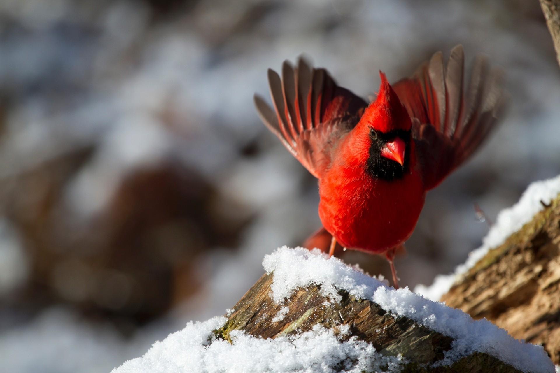 Cardinal In Winter Cardinal Cardinal Bird …