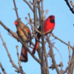 Cardinal Birds in Snow