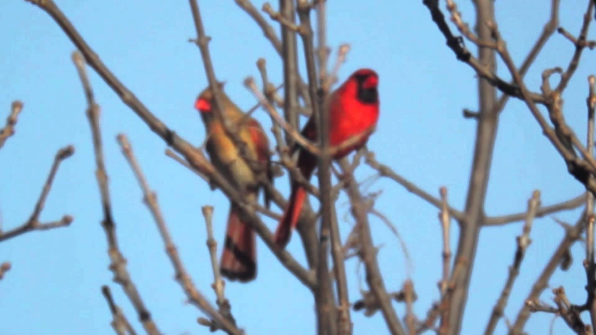 Dancing Northern Cardinal | Spring '15