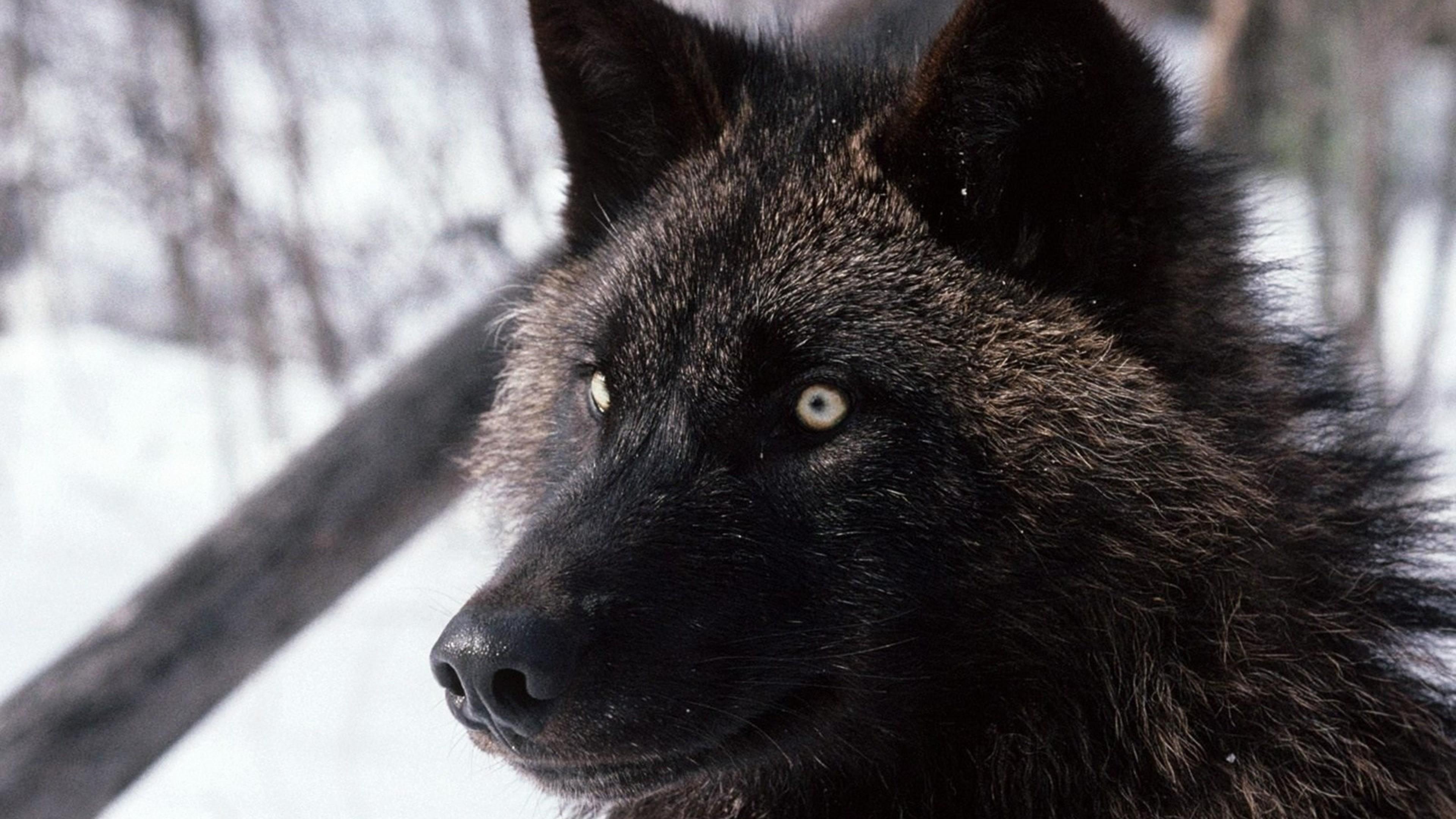 Wallpaper wolf, dark, eyes, hair, dog