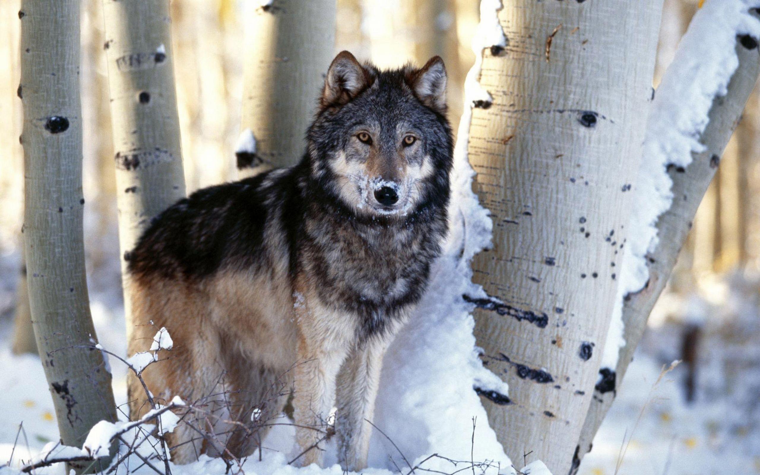 Wolf Widescreen Wallpaper 2560×1600