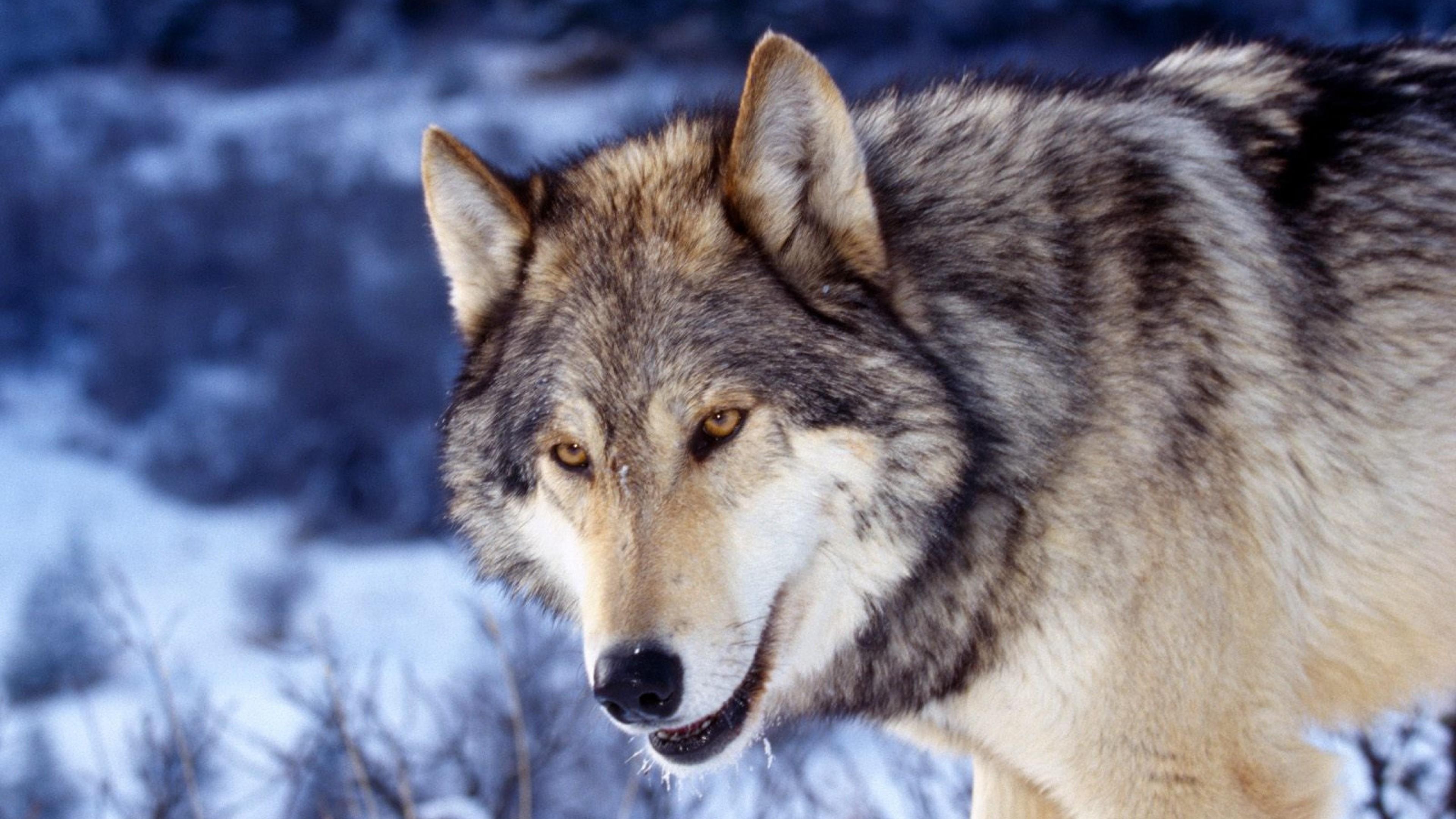 Wallpaper eyes, face, predator, wolf