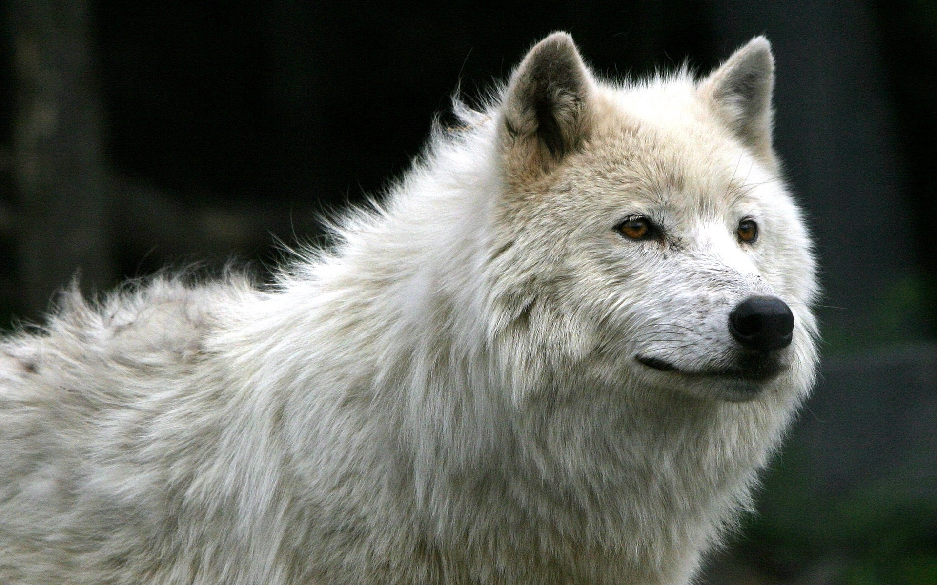 Baby Wolf Wallpaper 493×640 Baby Wolf Wallpapers (55 Wallpapers)   Adorable  Wallpapers