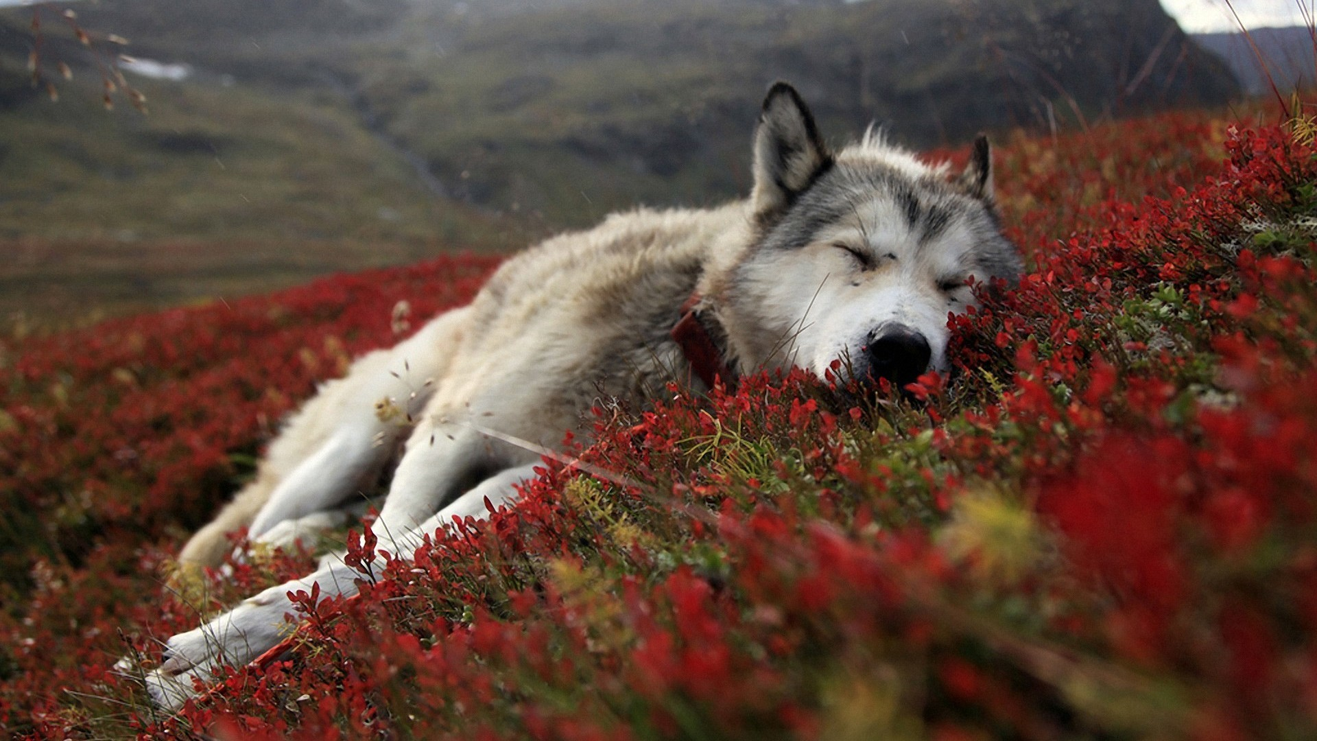 49 Wolf Wallpapers Hd Quality Images Full
