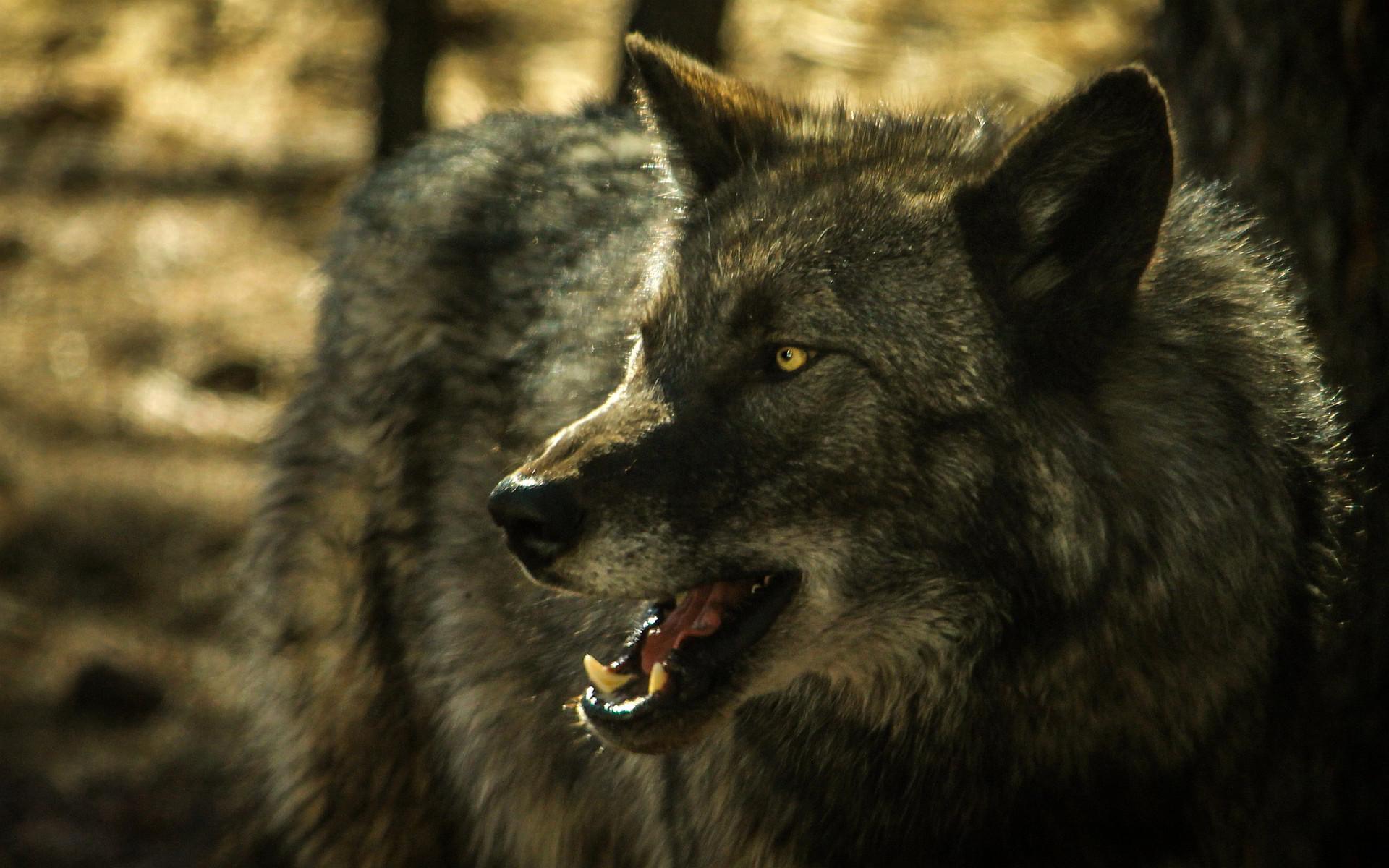 wolf wallpaper A14. Â«Â«