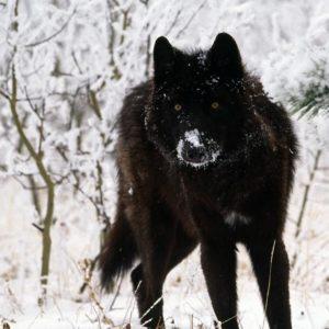 4K Wolf