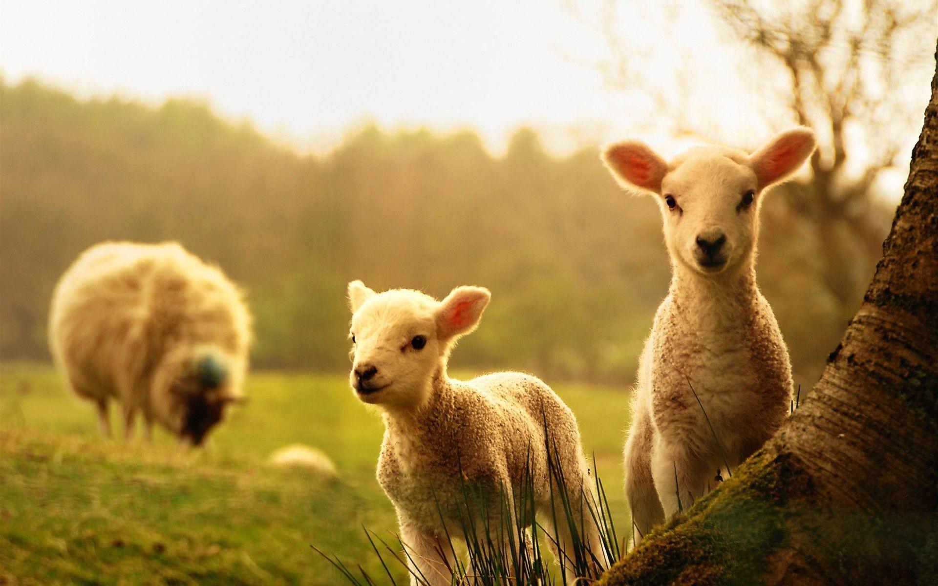 … Wallpaper Farm Animals Desktop …