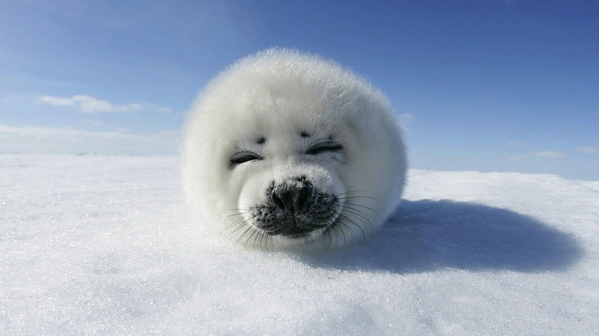 Desktop-wallpaper-animals-baby-seal-canadian-seal.jpg