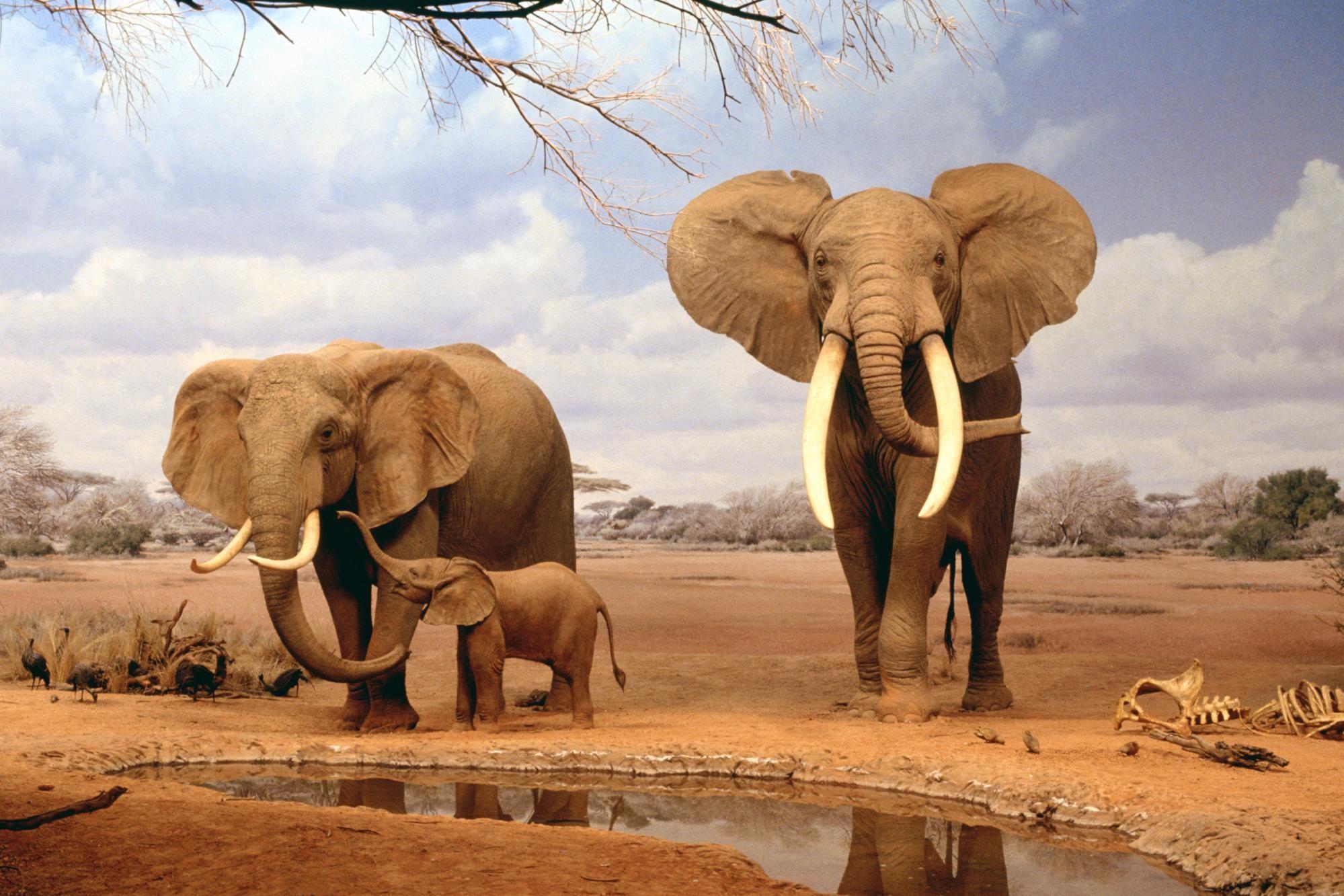 Africa Elephants Summer Animals Desktop Wallpaper | Full HD Wallpapers .
