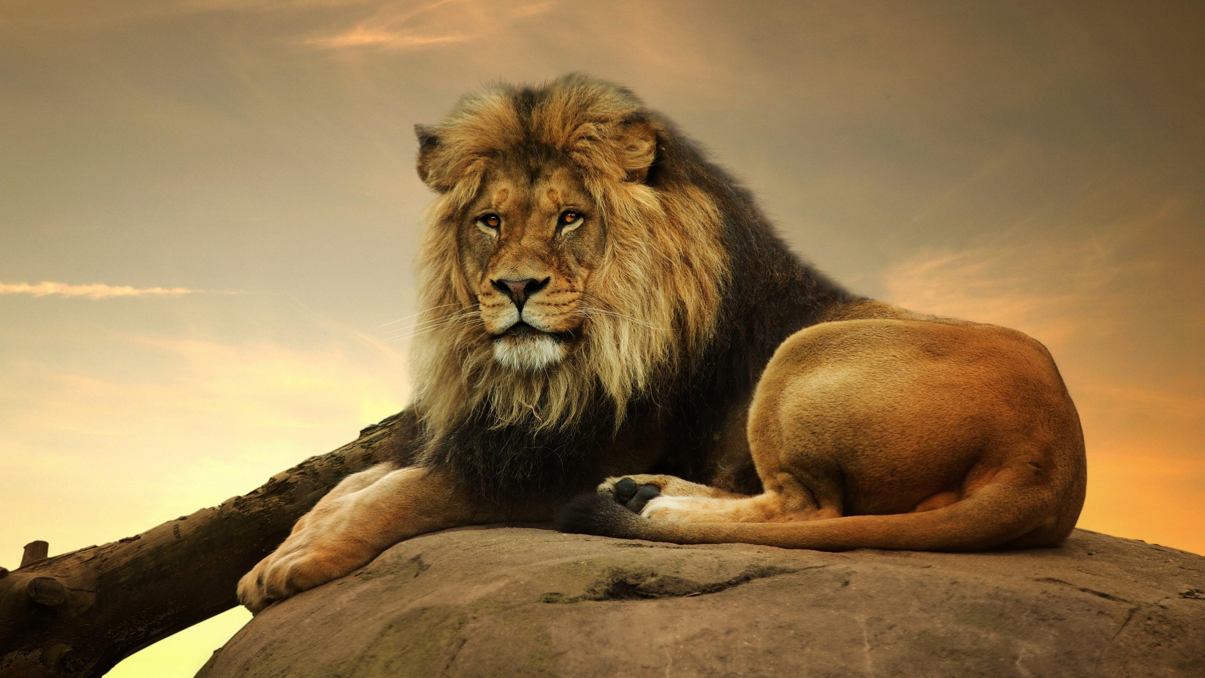 male lion 4k resolution desktop wallpaper