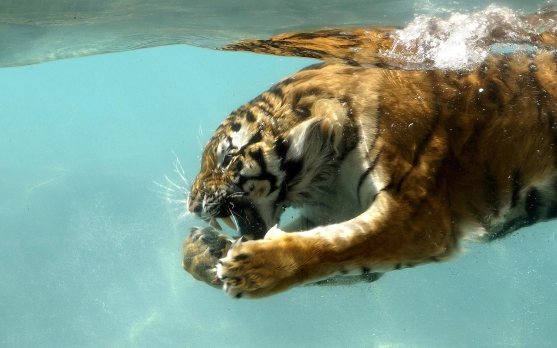 HD Computer Animal Wallpaper | tiger in water desktop wallpaper backgrounds  not just for your desktop