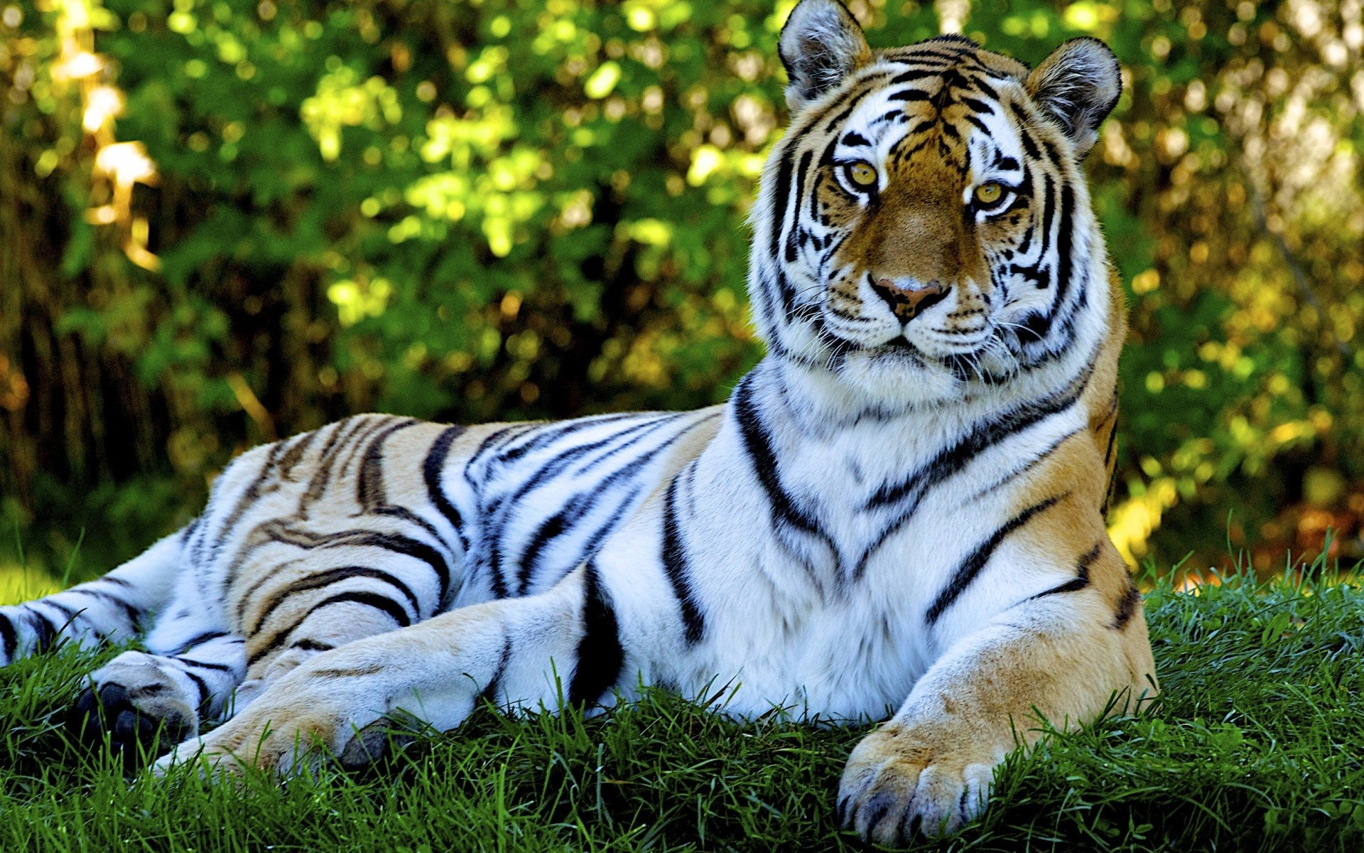 Animated Nature Wallpapers For Desktop – Tiger desktop backgrounds – Tiger desktop  backgrounds Wallpaper