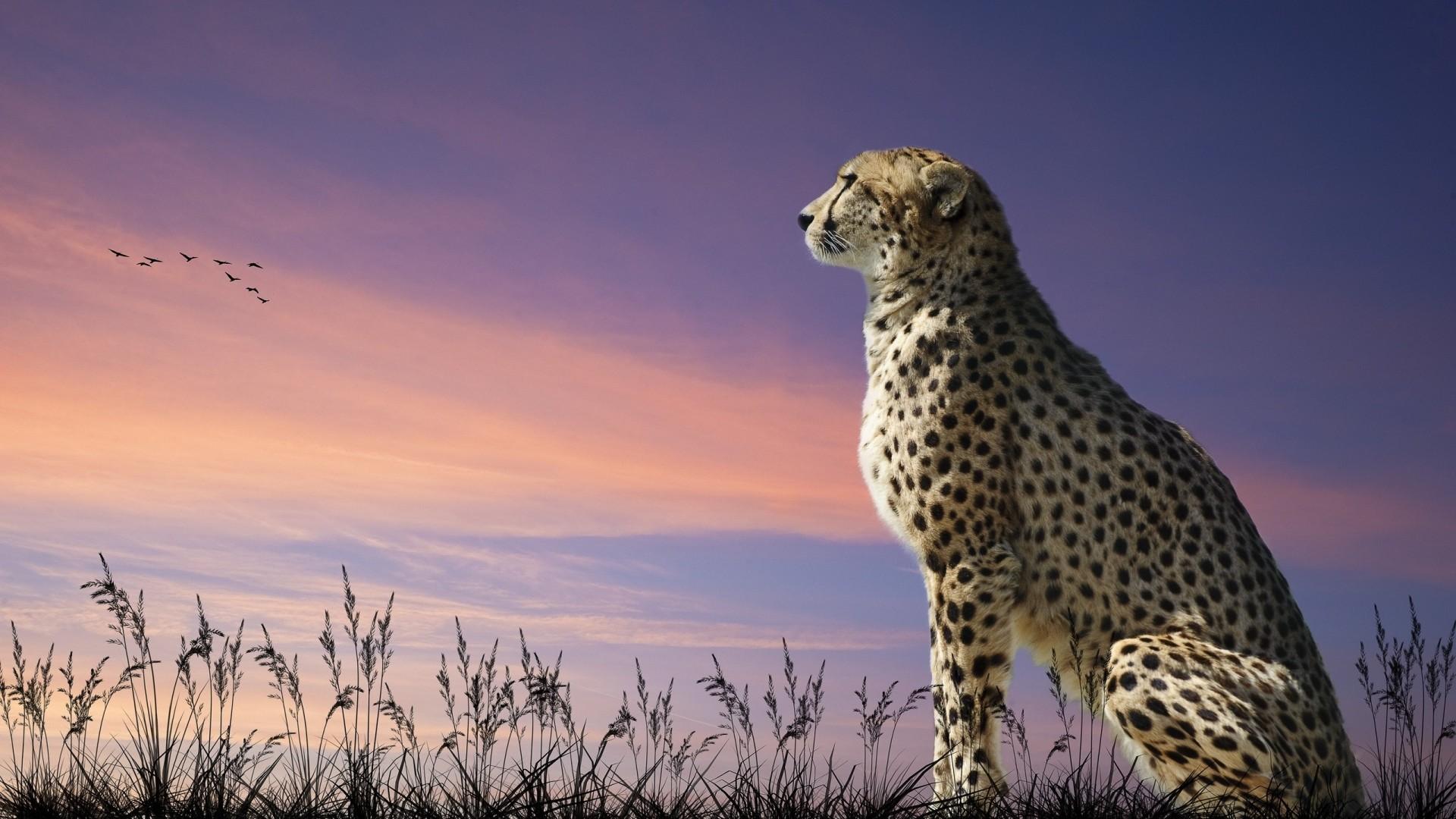 Animals Full HD Wallpapers – 1080p Wallpapers | Full HD Wallpaper  leopard sunset field,