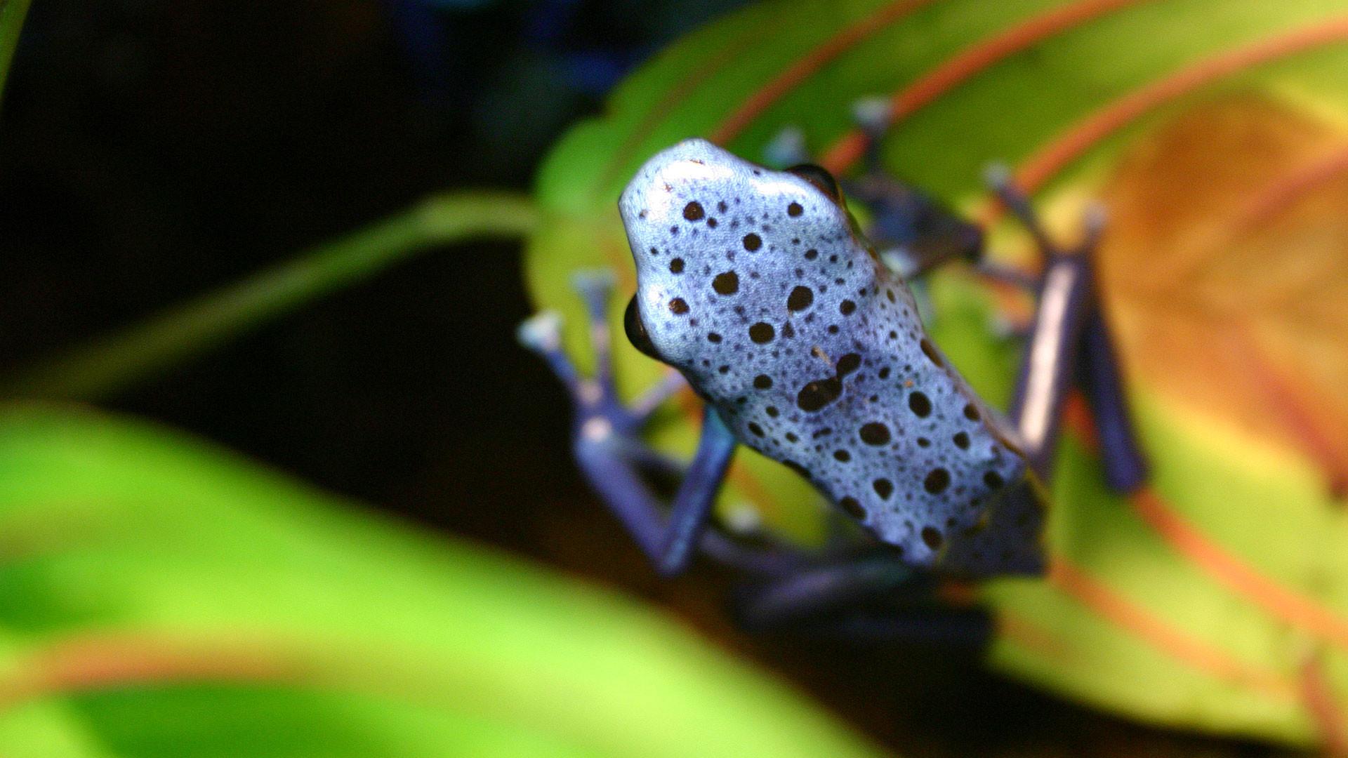purple frog HD Animal Wallpaper