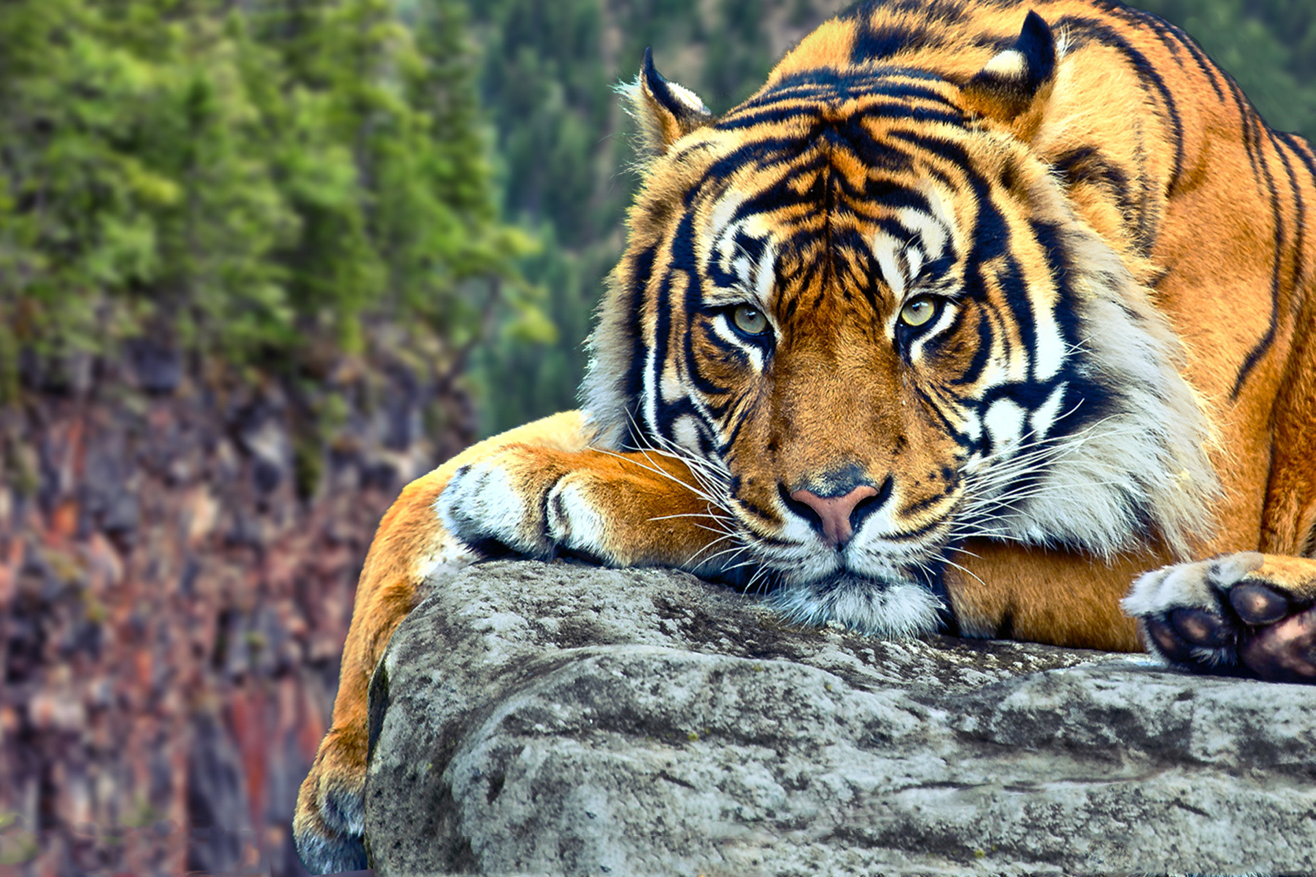 … Tiger Wallpapers HD Group (9)