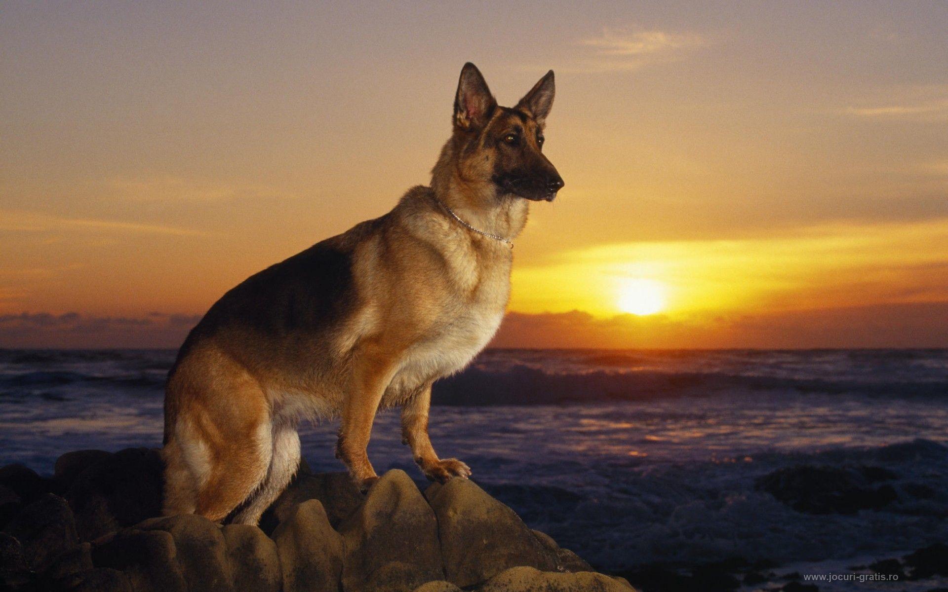 0 Funny Dog Wallpapers German Shepherd Dog Wallpapers