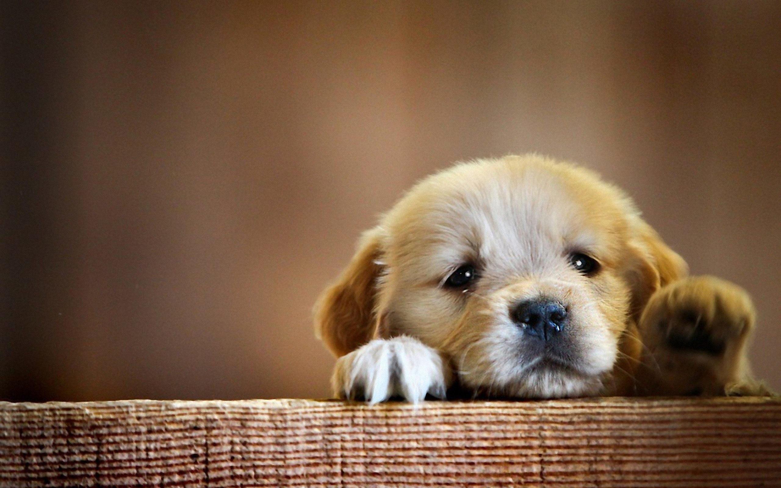 … Golden Retriever Puppy Wallpaper