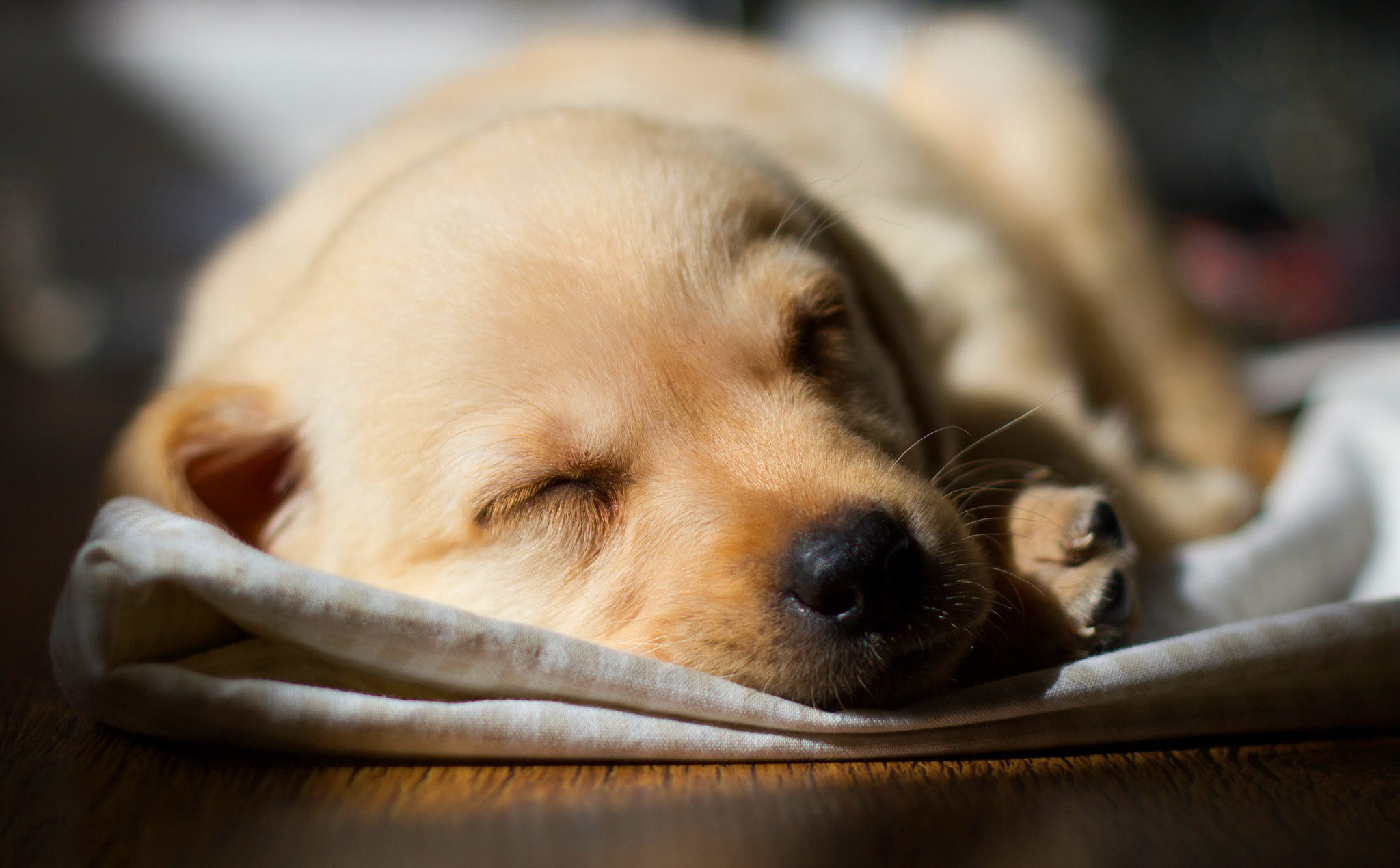 Animals Wallpaper: Lab Puppy Wallpapers Wide for HD Wallpaper 900×600 Lab  Puppies Wallpapers