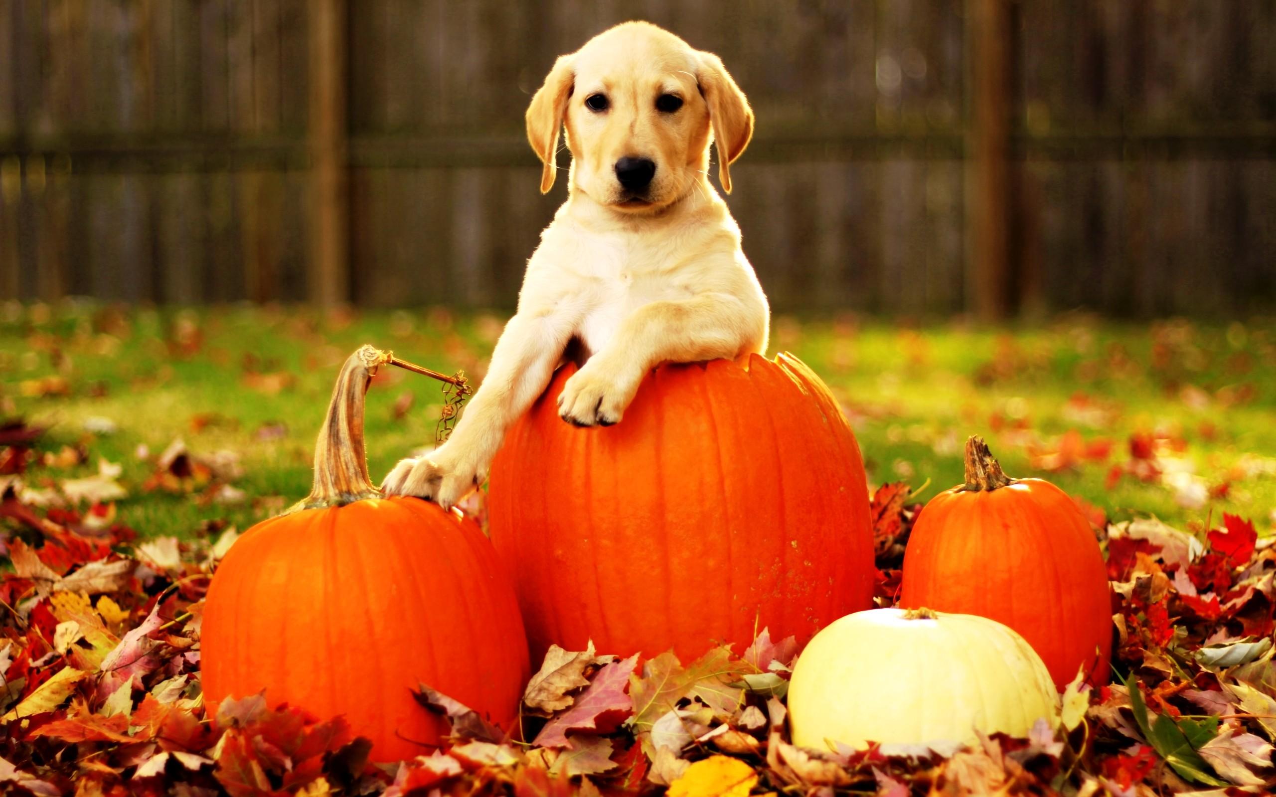Free Dog Screensaver And Wallpaper : Free Dog Screensaver and Wallpaper Dog  on the Pumpkins