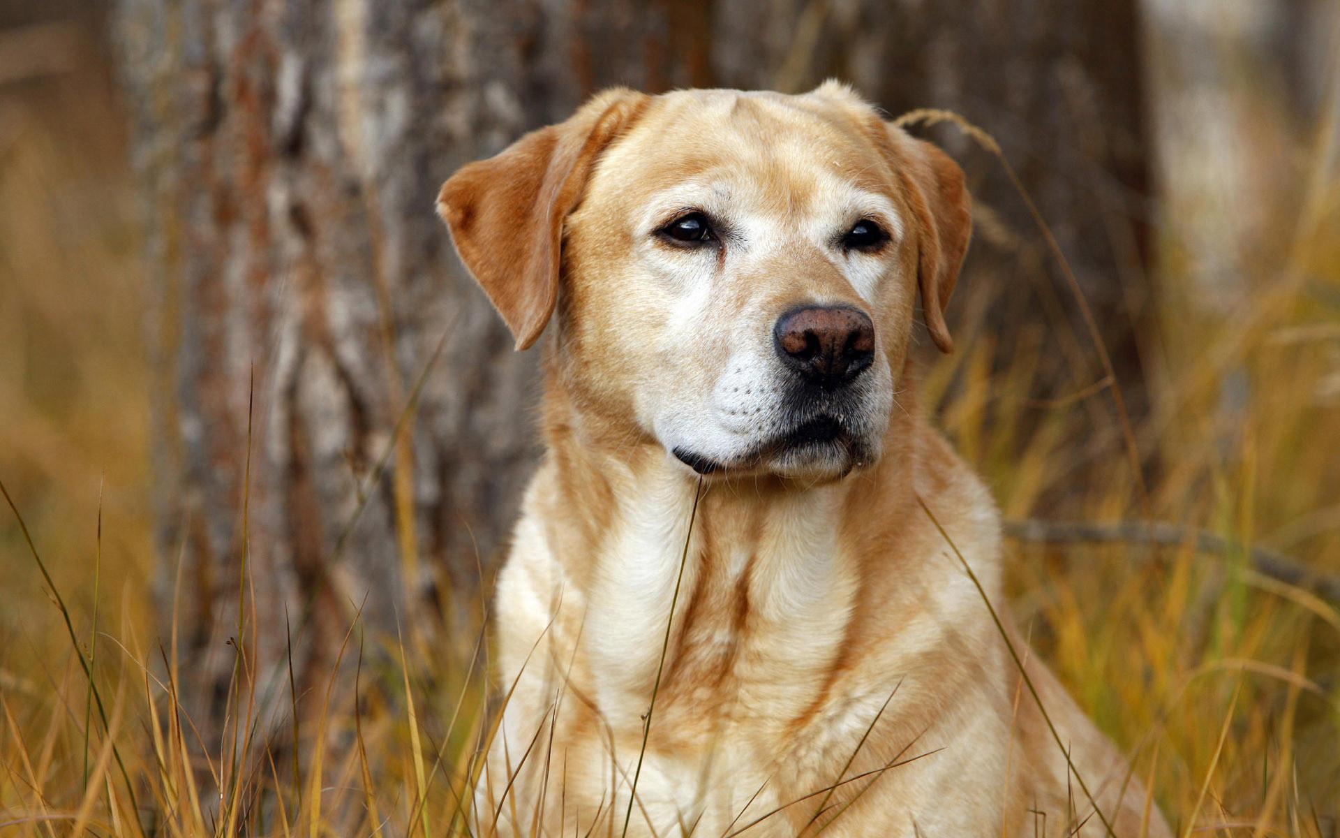 labrador dog wallpapers. Â«Â«