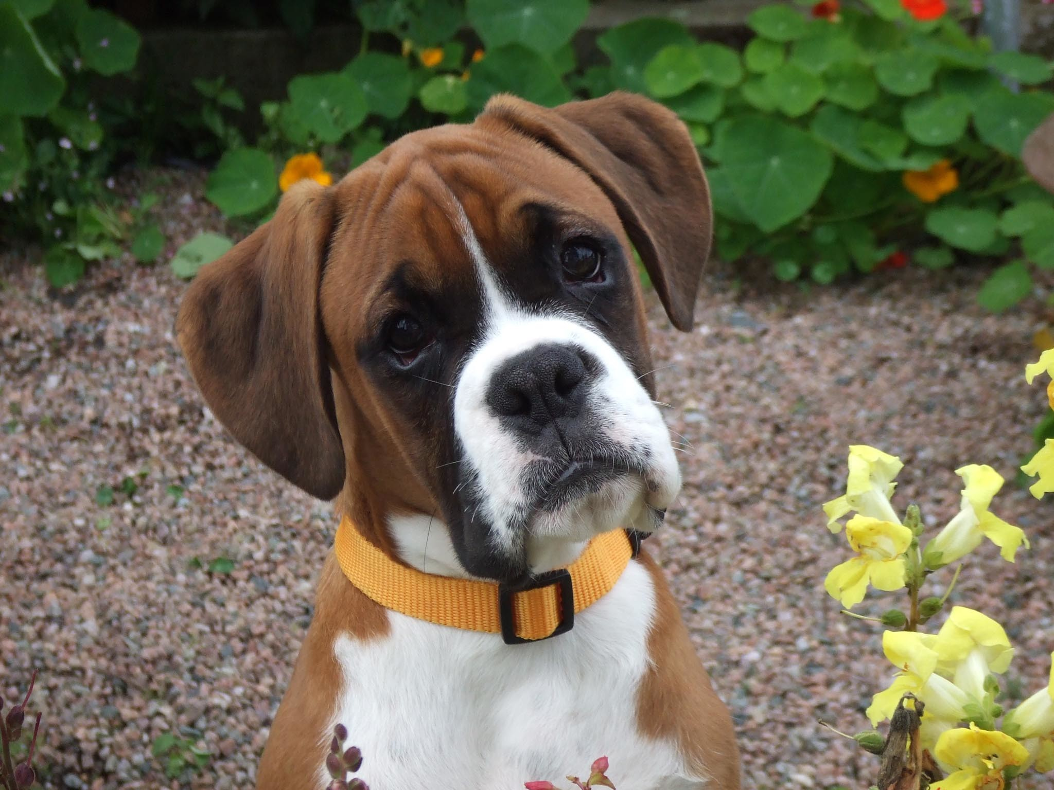 Boxer Dog Wallpapers