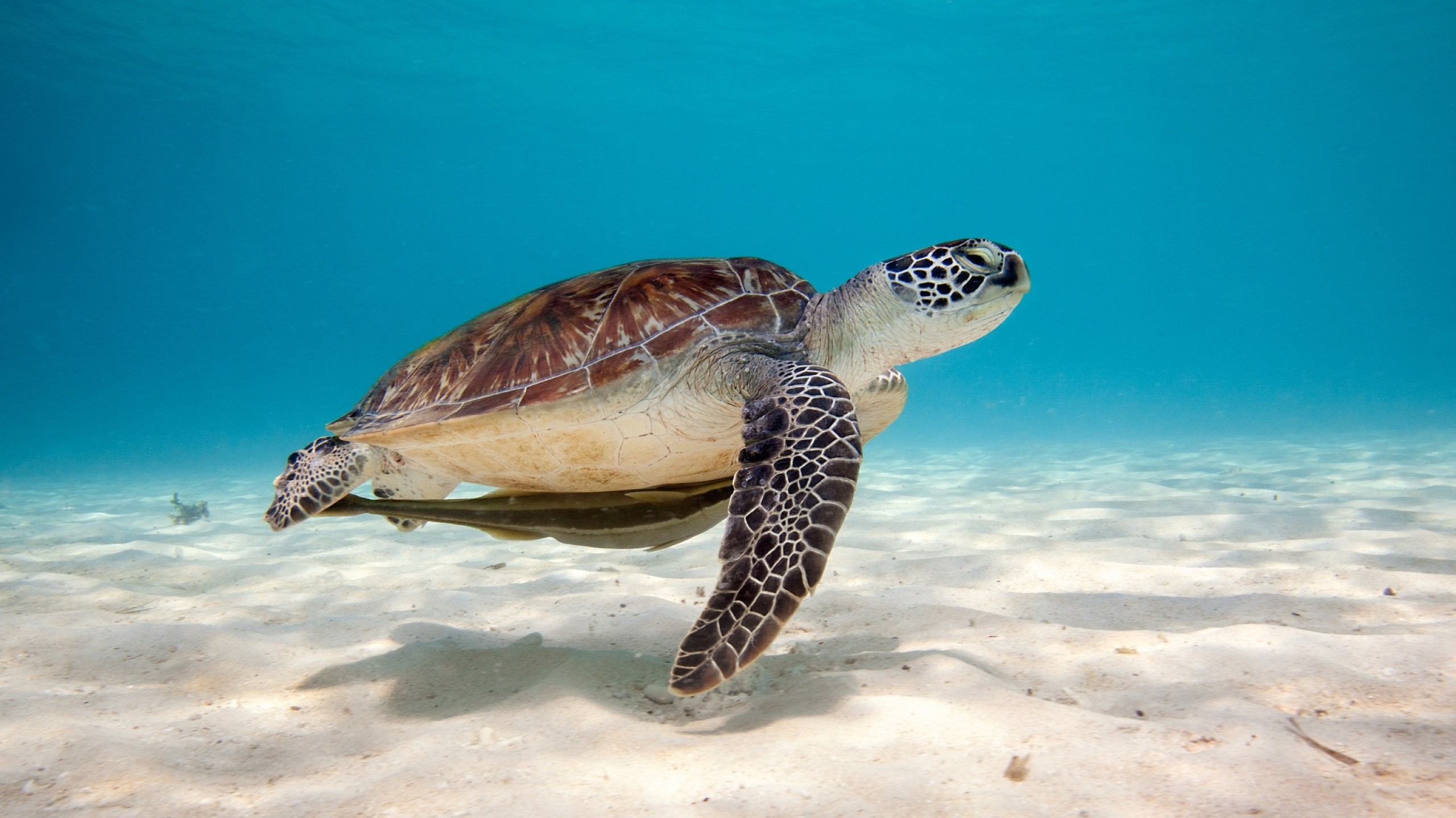 Preview wallpaper turtle, sea, water, sand, bottom, shell 2560×1440