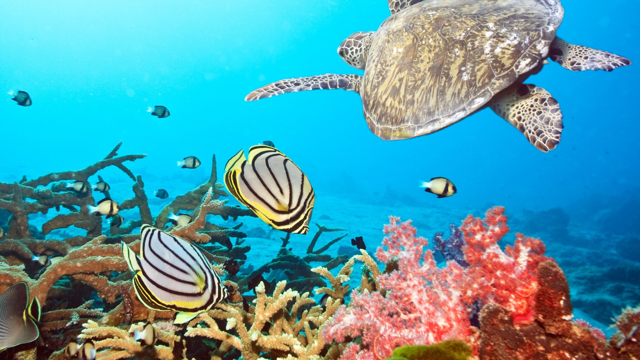Preview wallpaper turtle, sea, ocean, underwater, swim 2560×1440