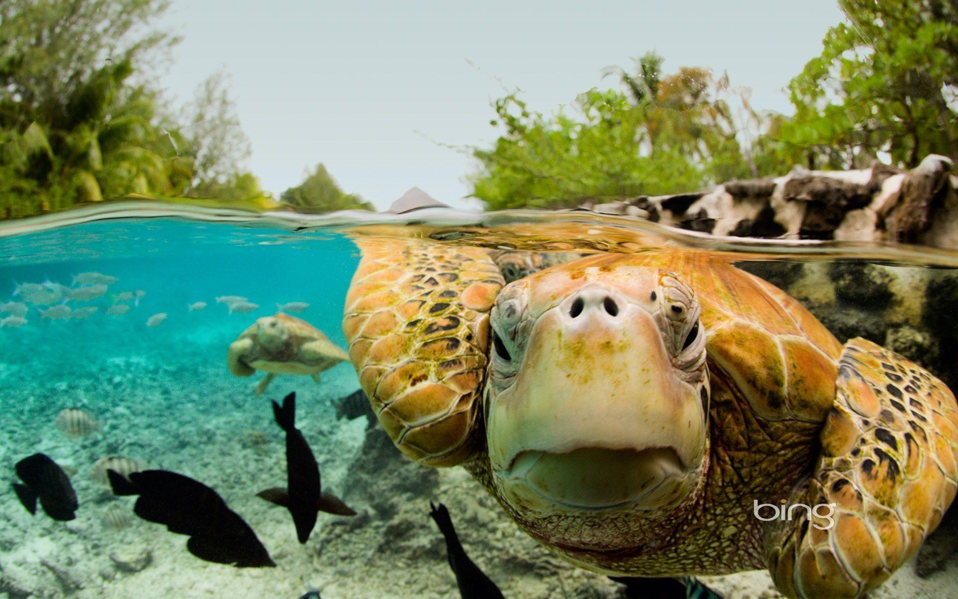 green-sea-turtle-wallpaper-15.jpg