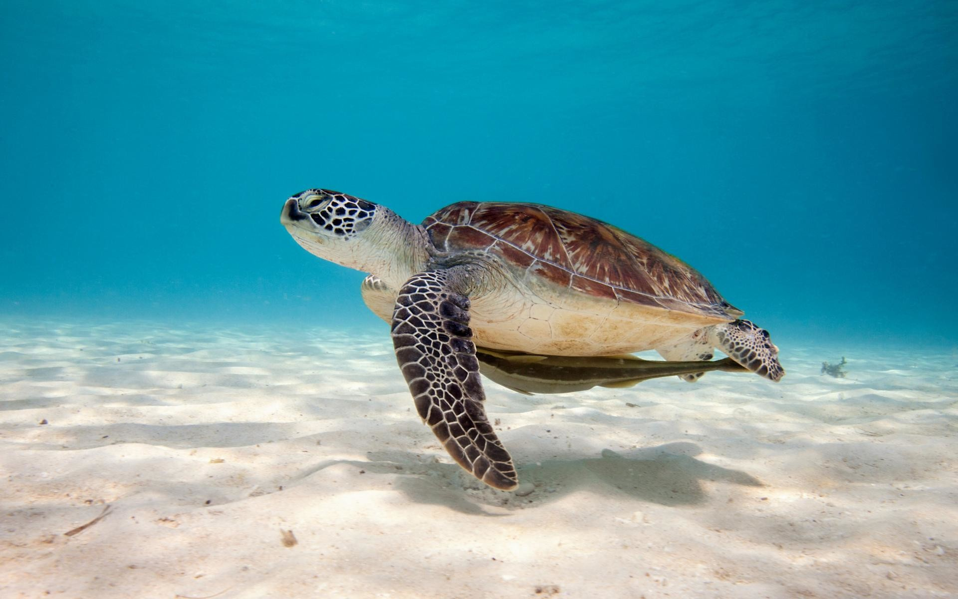 Turtle-Wallpapers-for-Widescreen