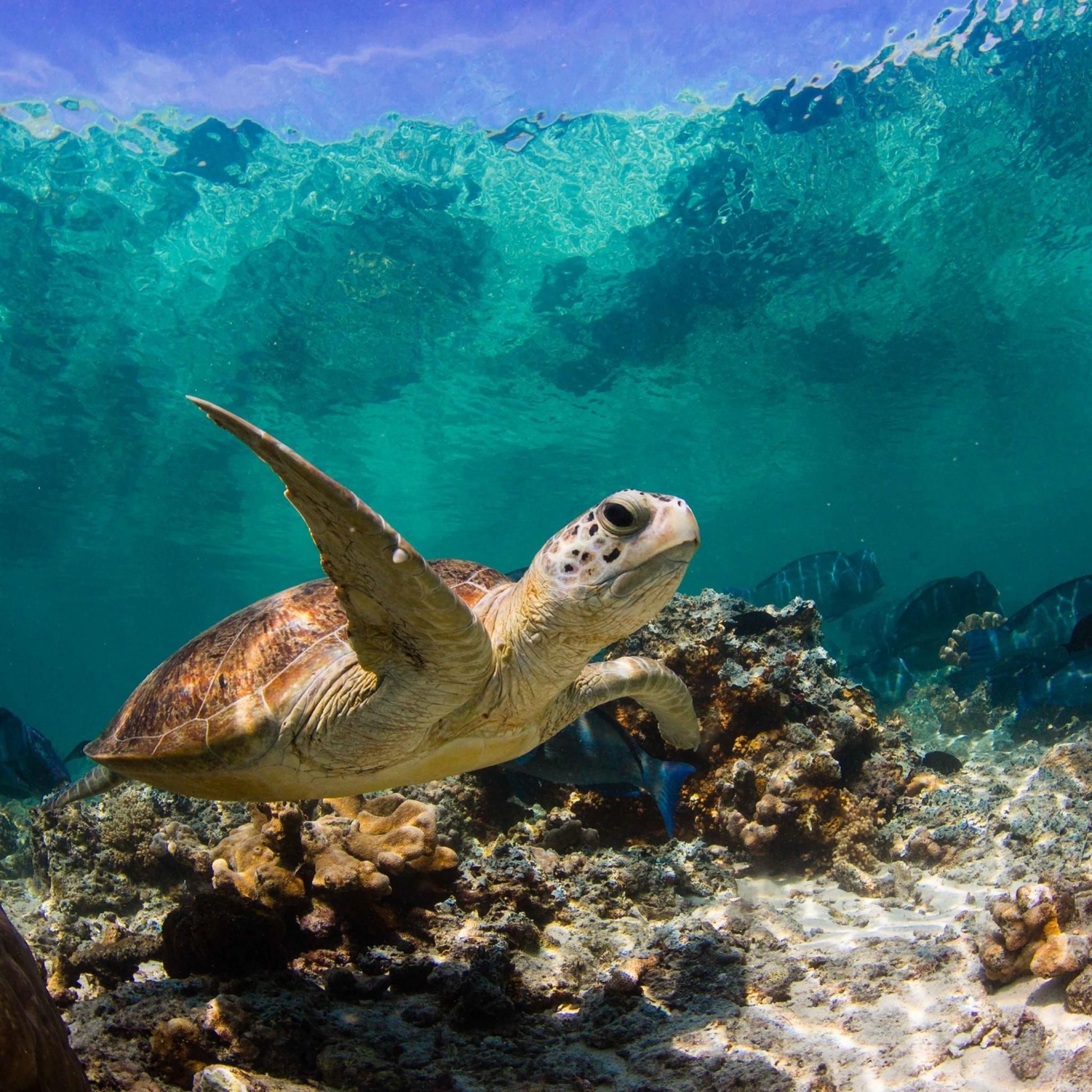 Preview wallpaper turtle, ocean, water, macro, fish, corals 2048×2048