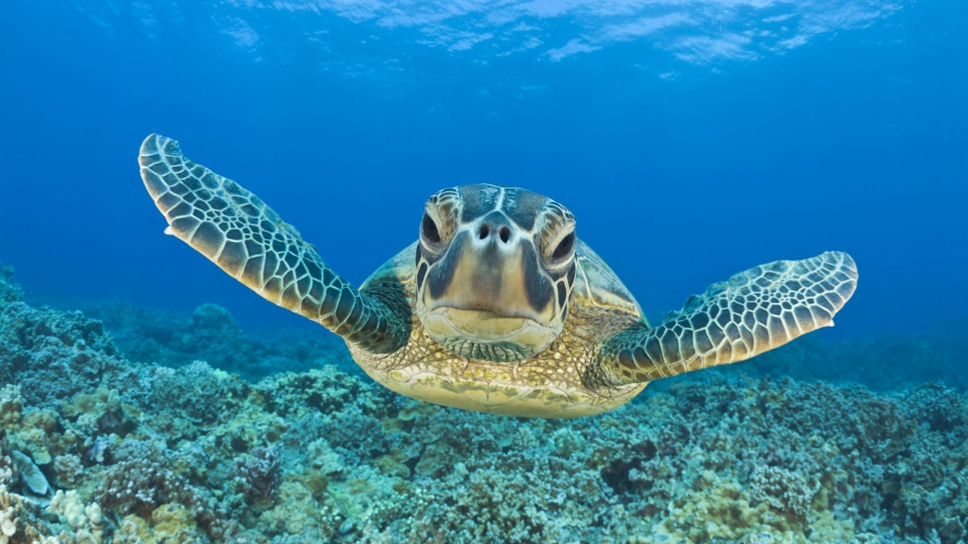 Wallpapers : Turtle Swimming Underwater Hd Animal Wallpaper Turtles .