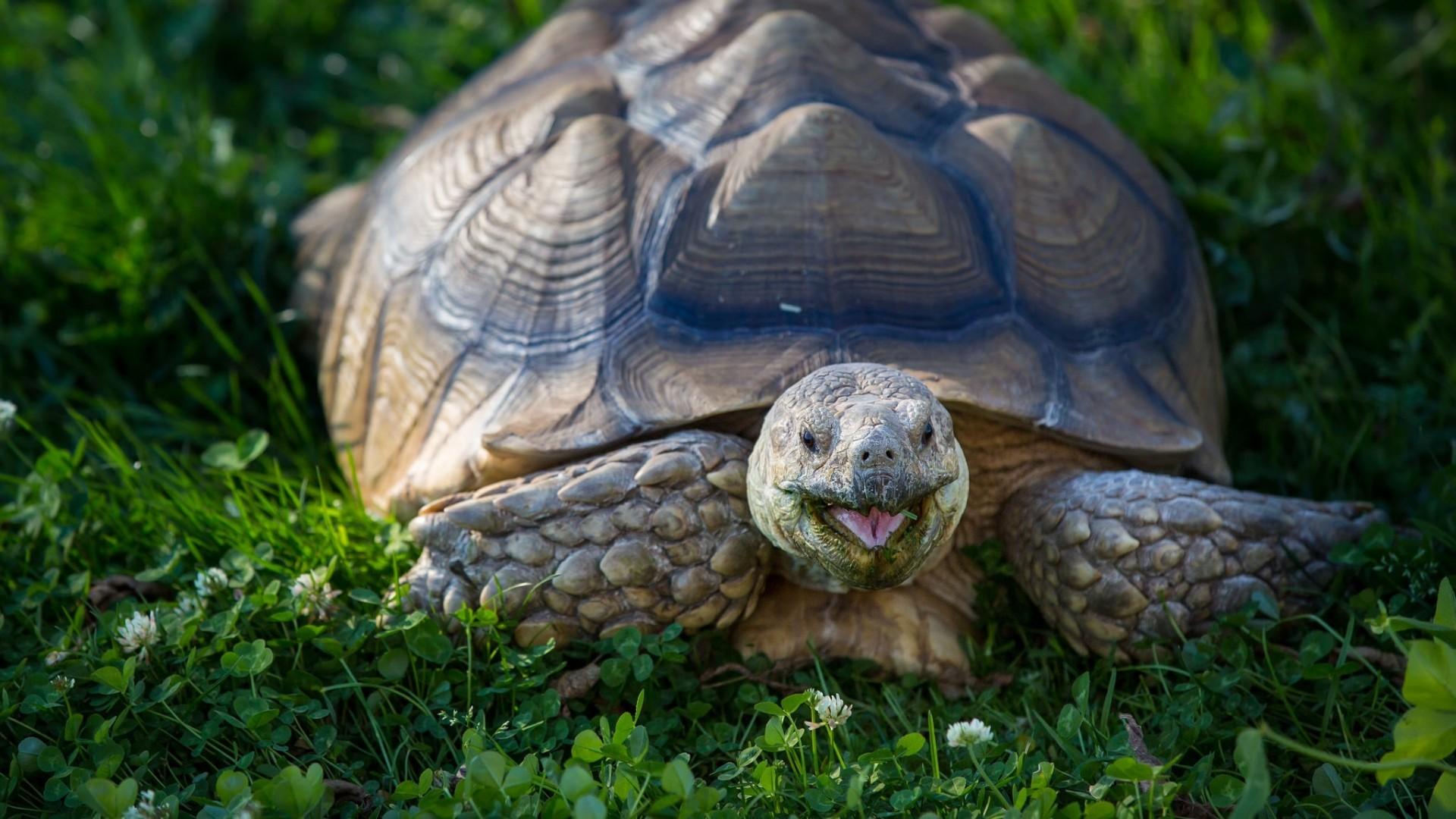 Wallpaper turtle, clover, shell