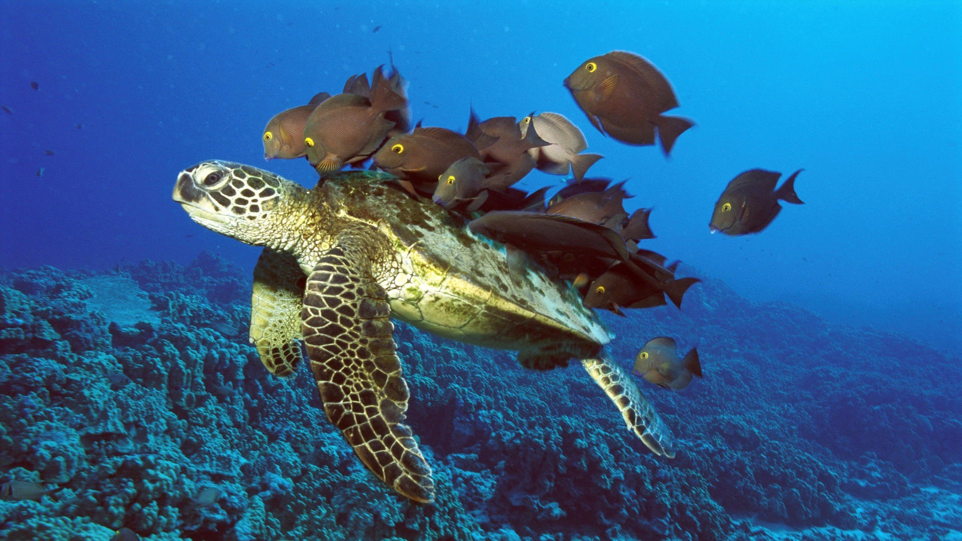 Green Sea Turtle Being Cleaned by Reef Fishes Hawaii