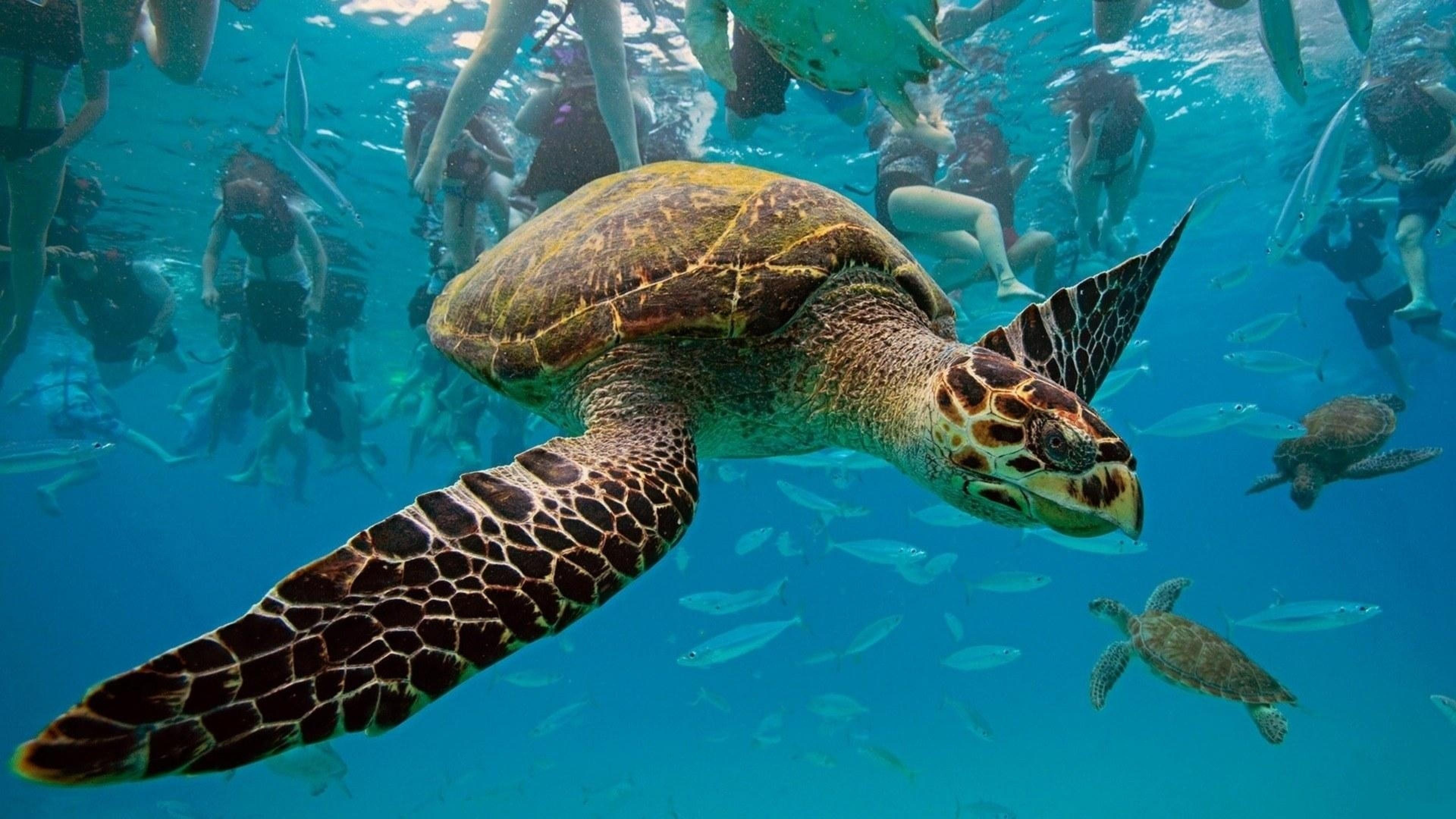 Wallpaper underwater, turtles, swim