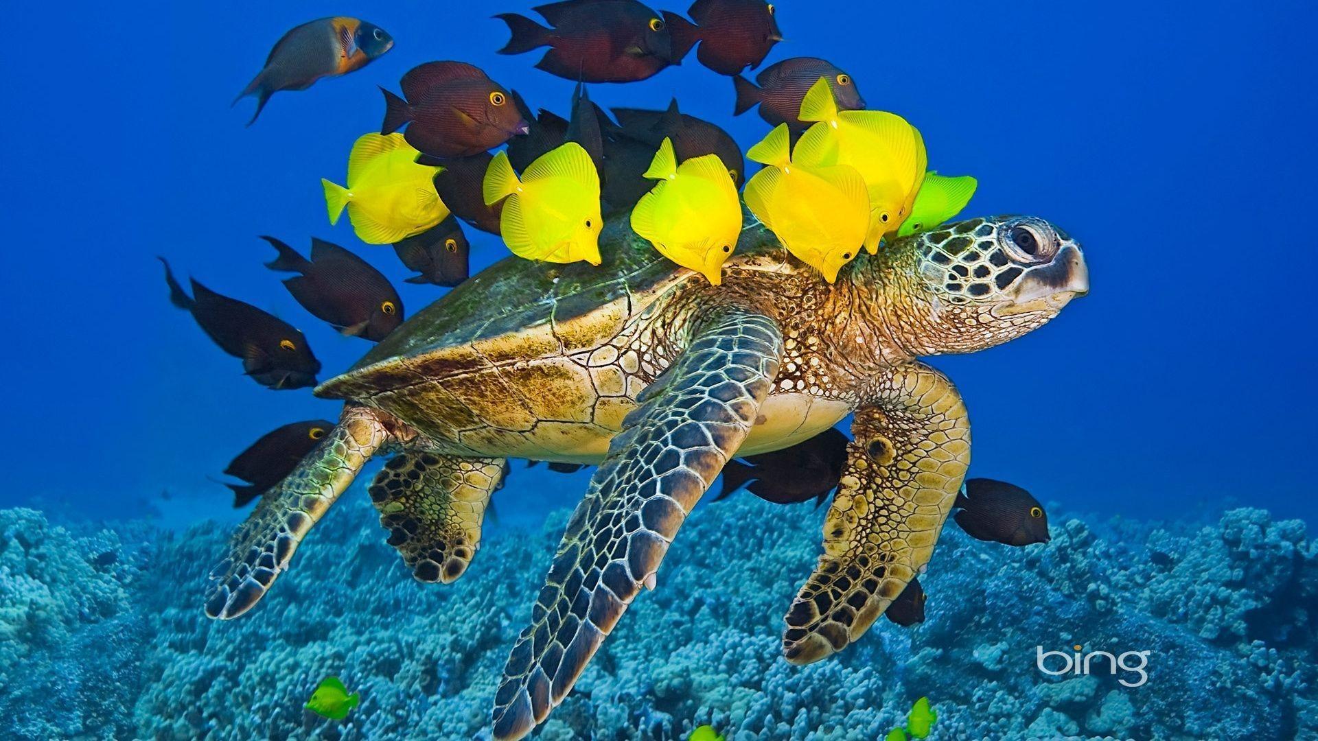 bing, turtle, fish, underwater, sea, tropical fish .