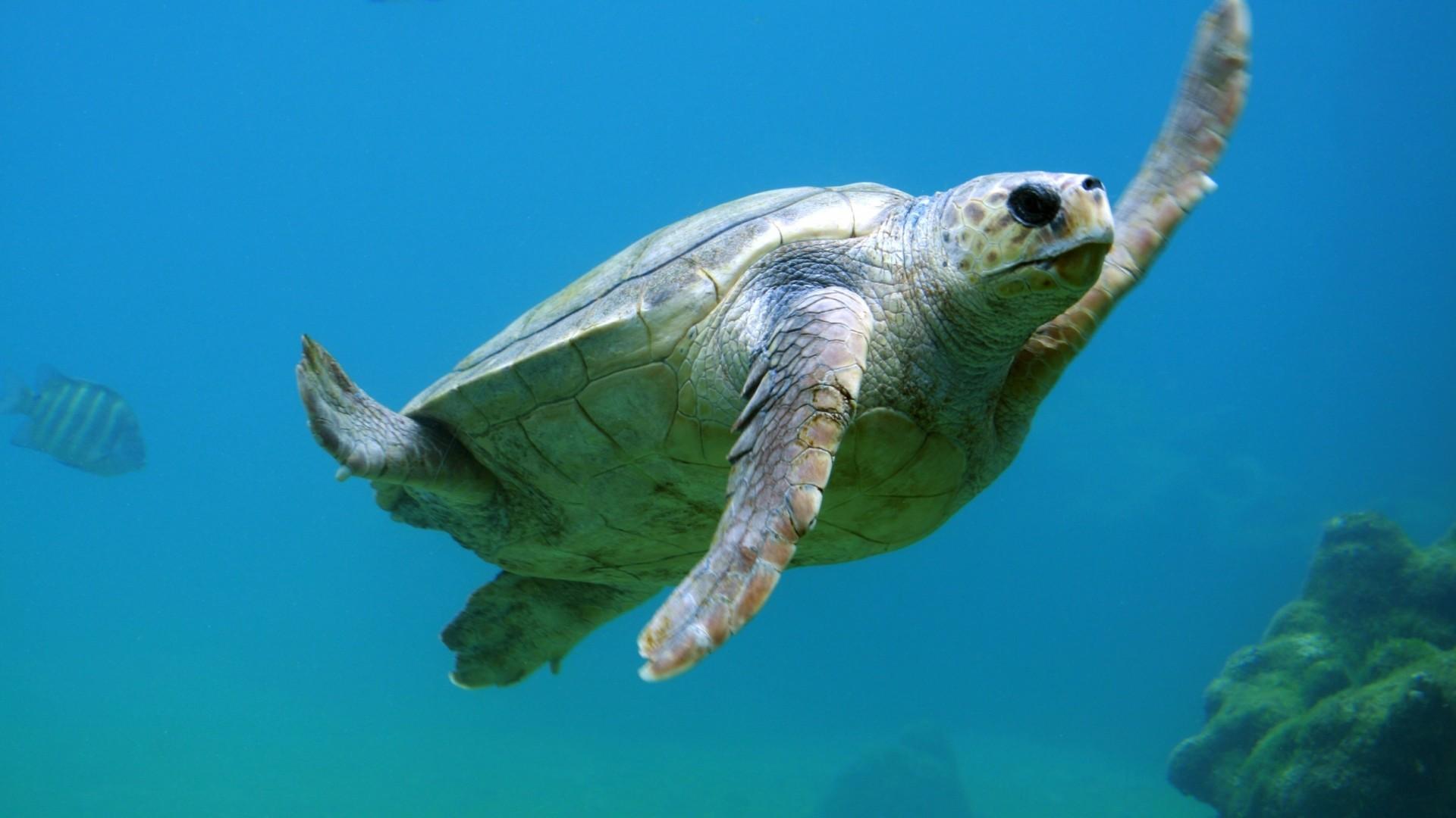 Wallpaper sea turtle, underwater, swim