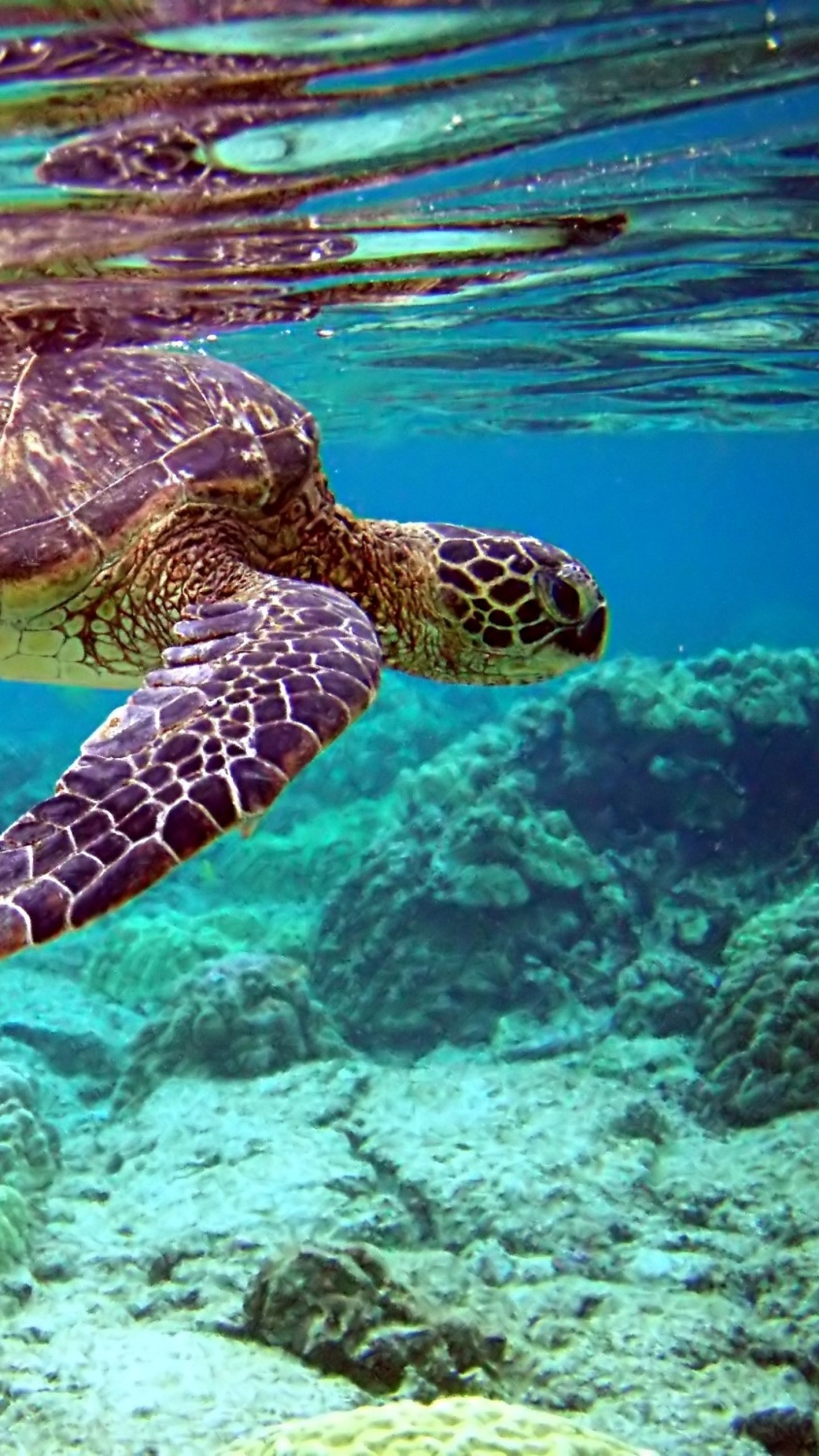 Wallpaper turtle, underwater, swimming, water