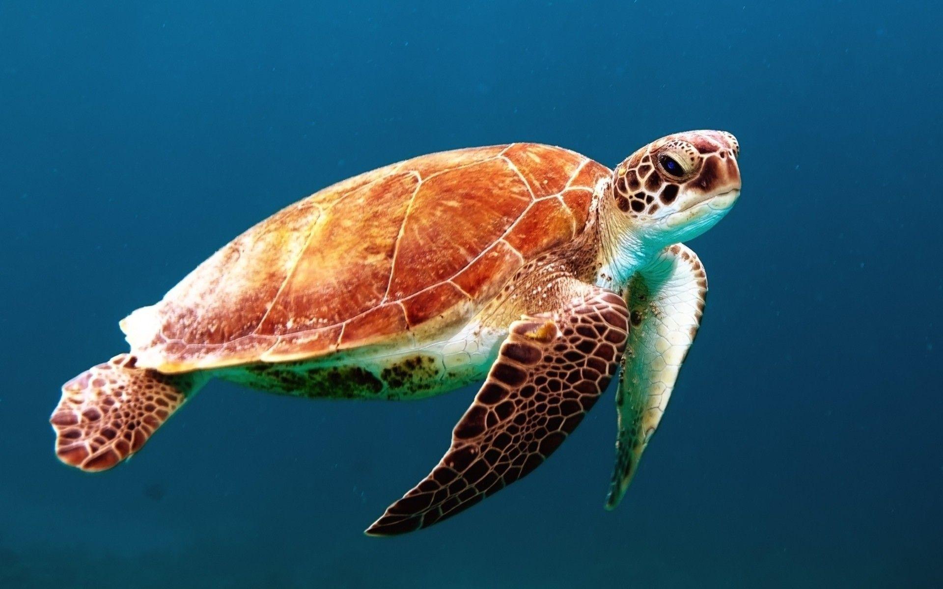 Animal Wallpaper Sea Turtle Wallpapers Desktop Background Free 1920×1200