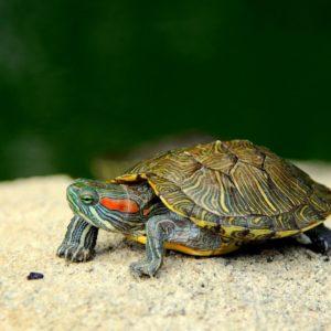 Sea Turtle Wallpaper Backgrounds